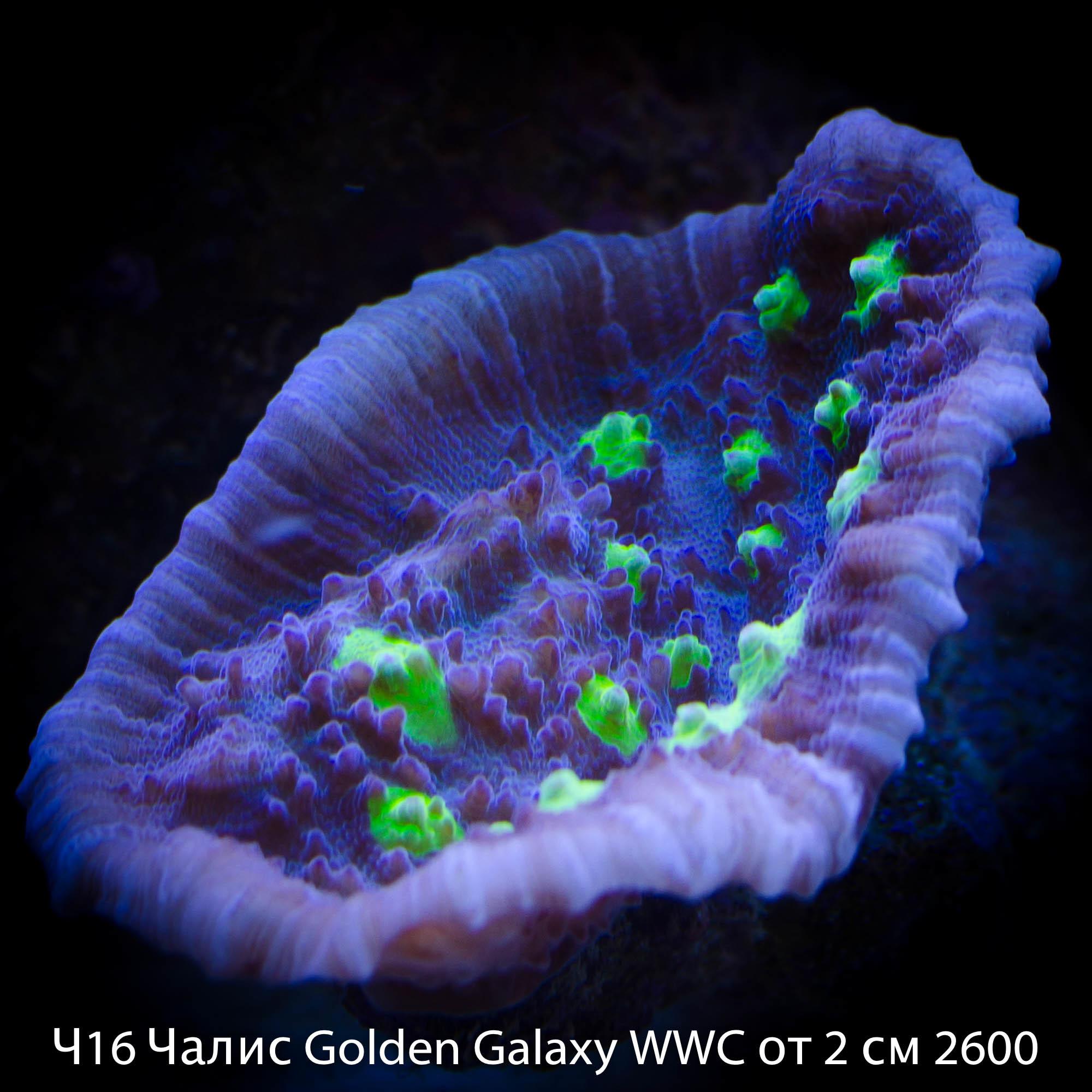 Ч16 Чалис Golden Galaxy WWC от 2 см 2600