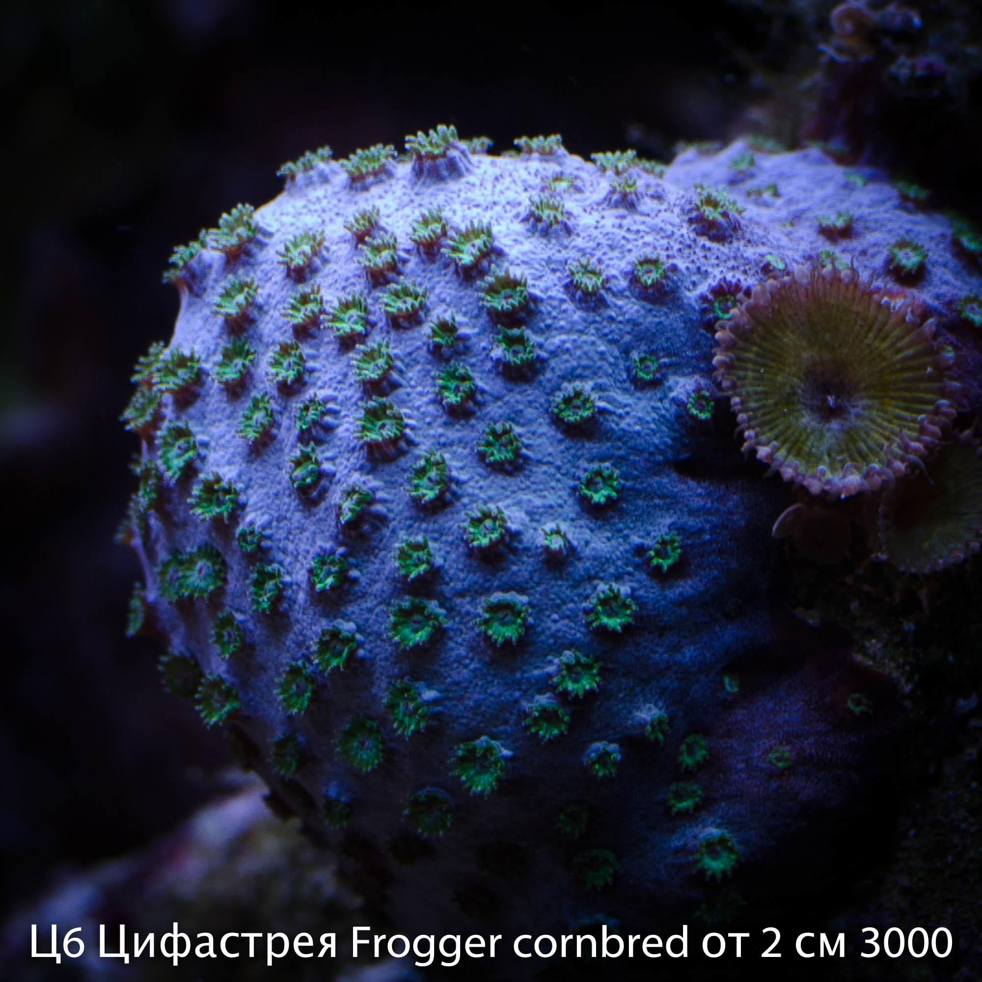 Ц6 Цифастрея Frogger cornbred от 2 см 3000