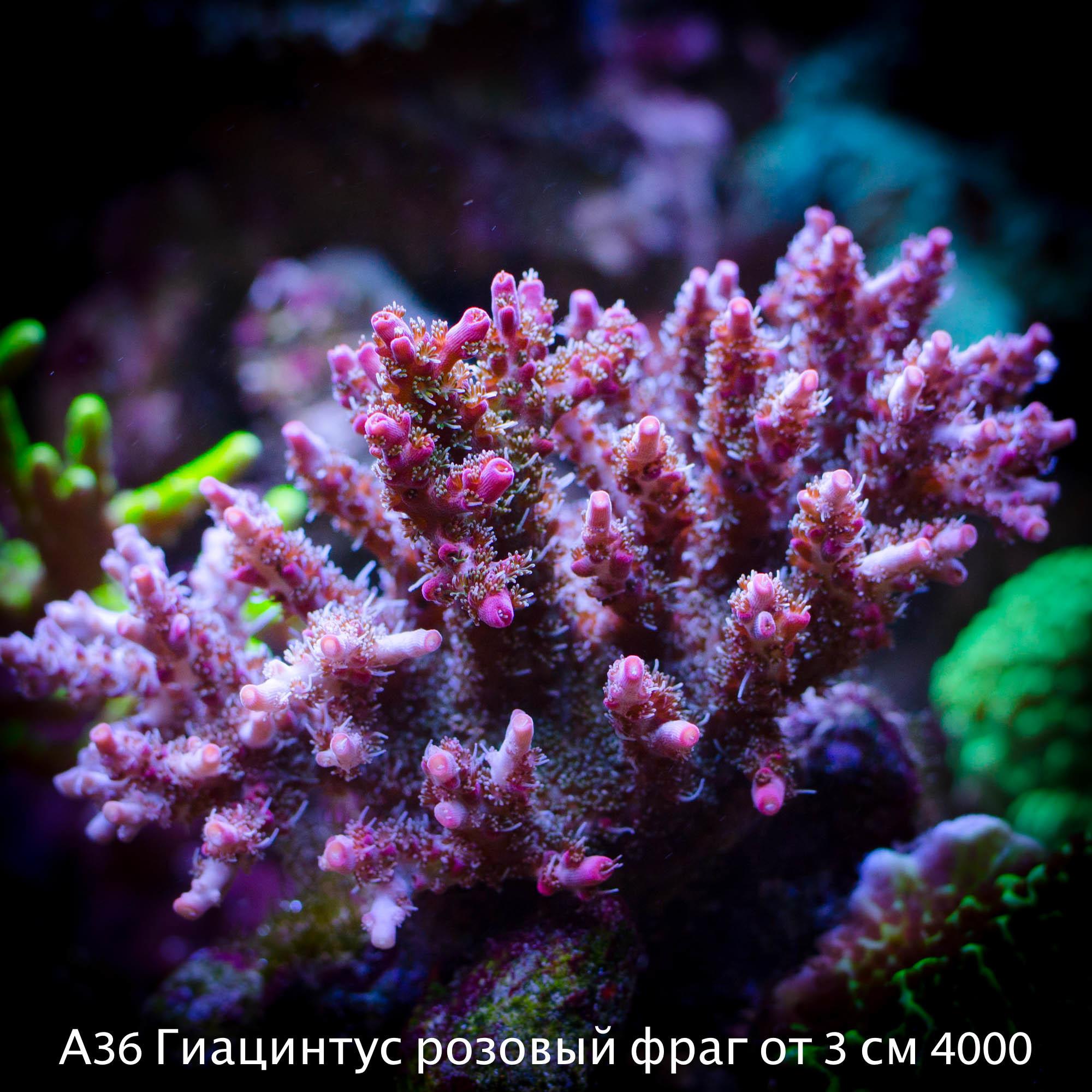 А36 Гиацинтус розовый фраг от 3 см 4000