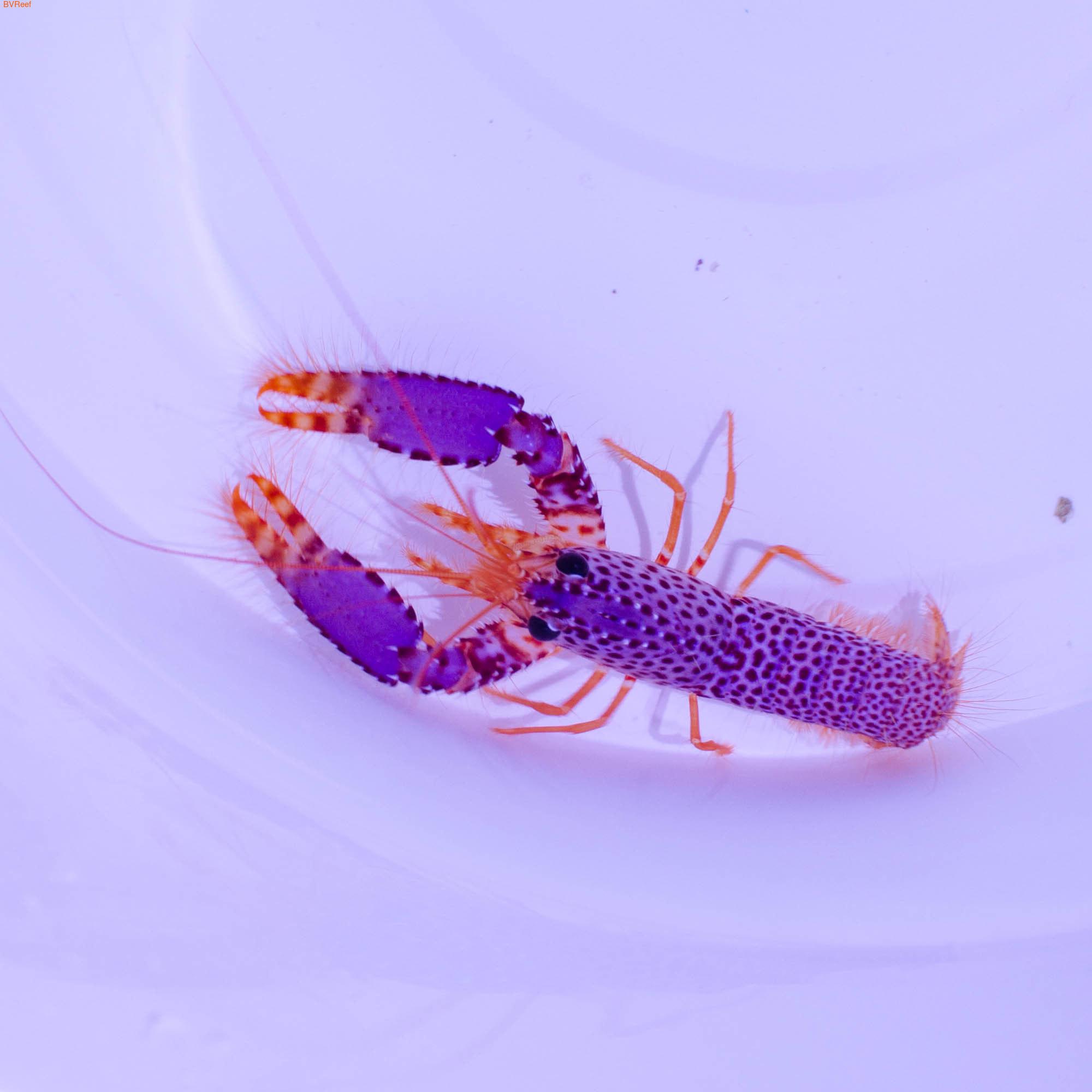 Омар рифовый