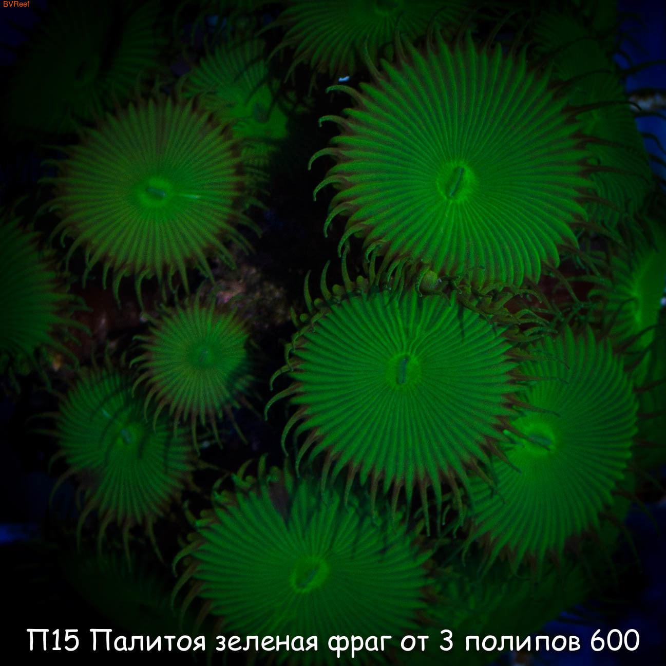 П15 Палитоя зеленая фраг от 3 полипов 600