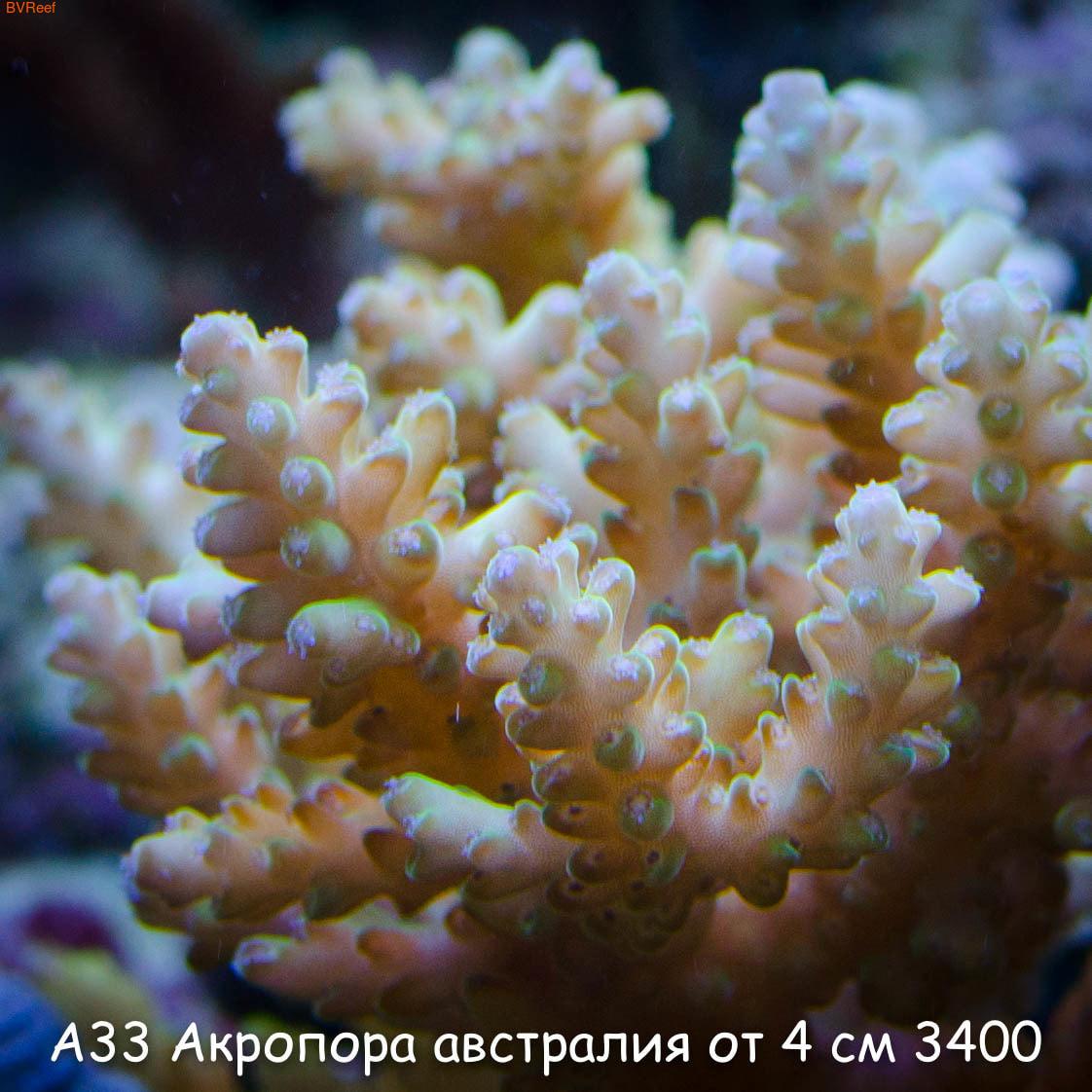 А33 Акропора австралия от 4 см 3400