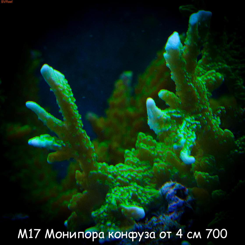 М17 Монипора конфуза от 4 см 700