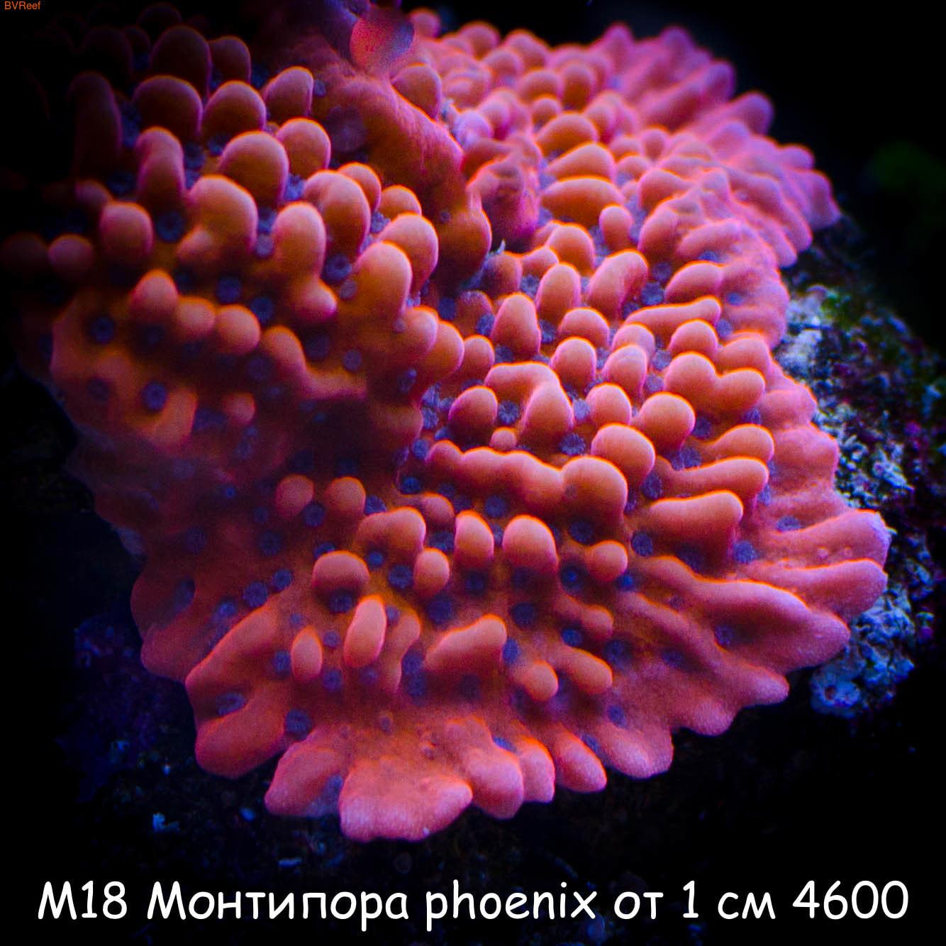 М18 Монтипора phoenix от 1 см 4600