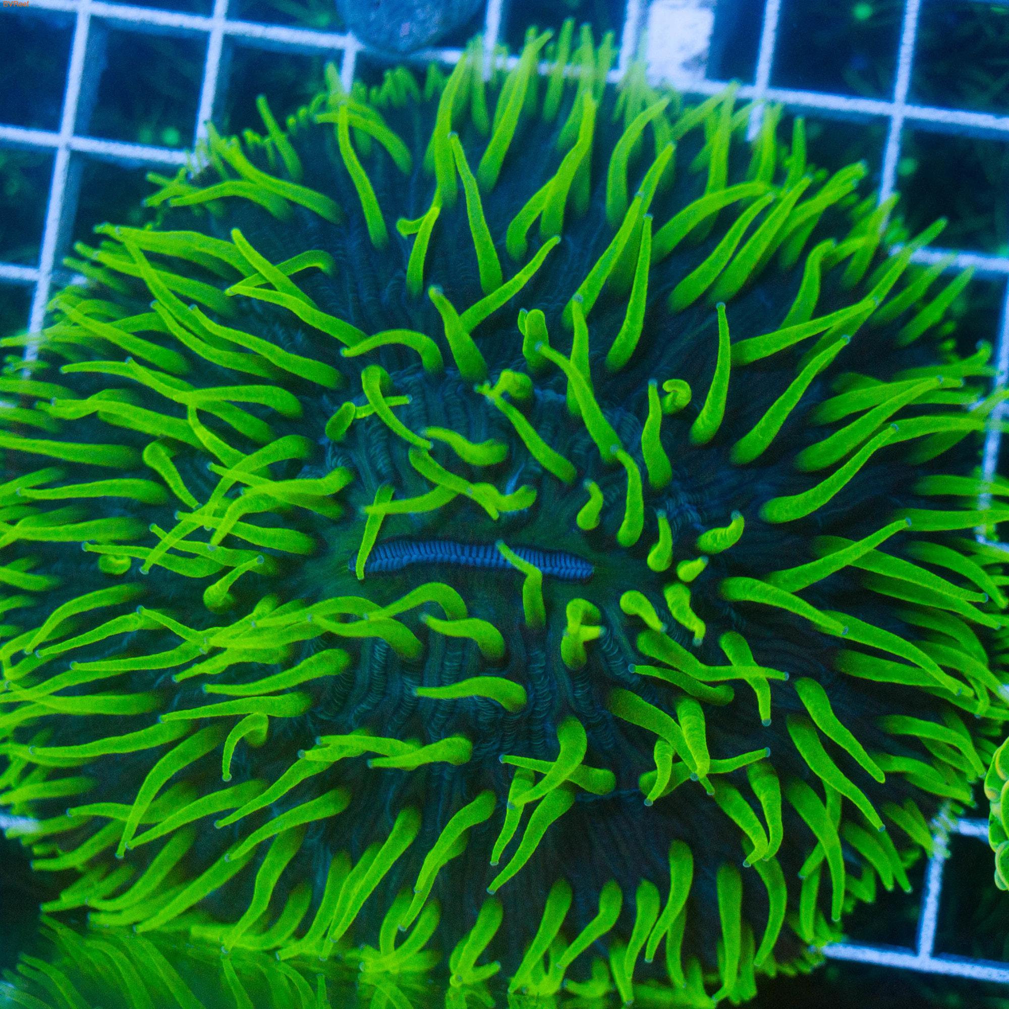 Л94 Фунгия фиолетовая большая 3400