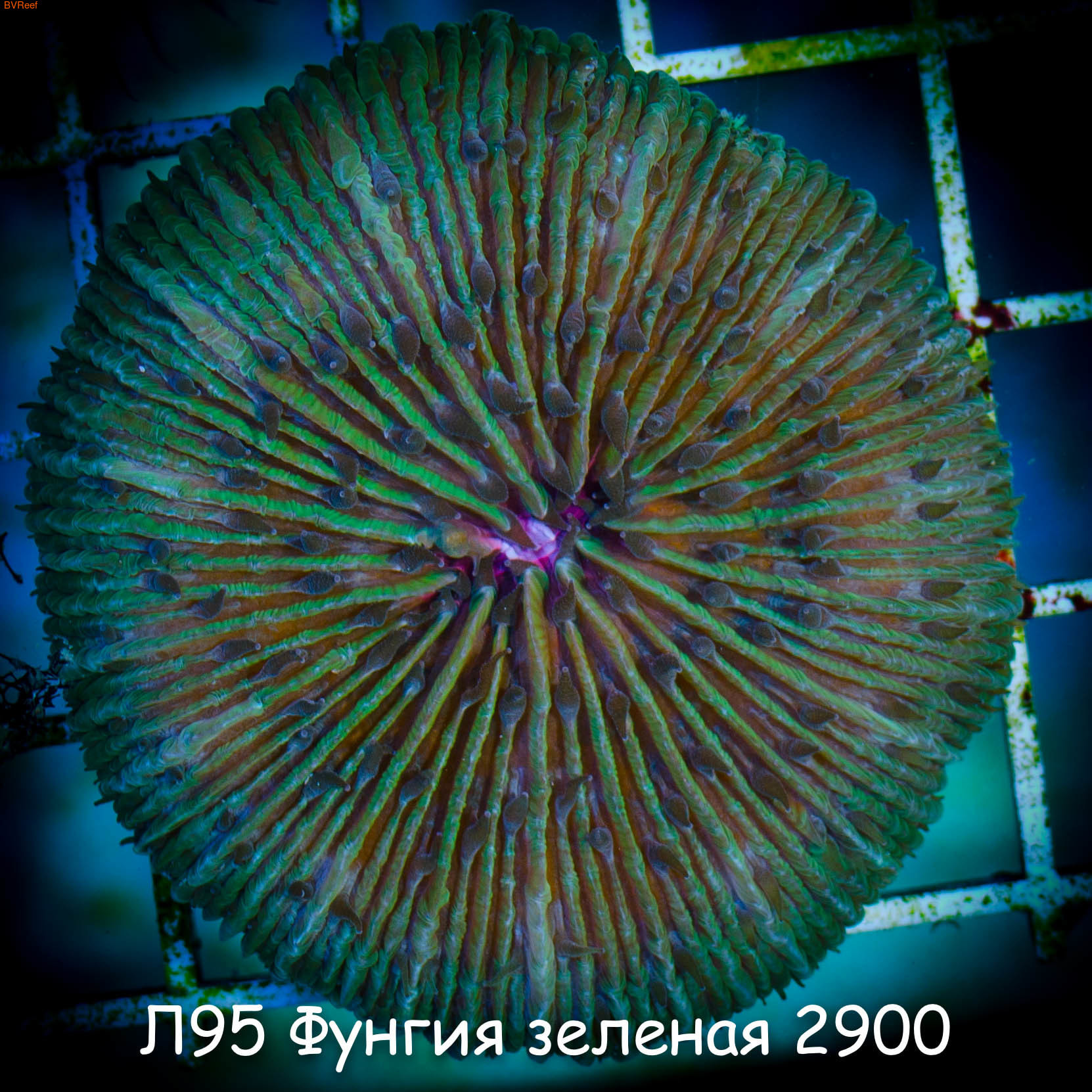 Л95 Фунгия зеленая 2900