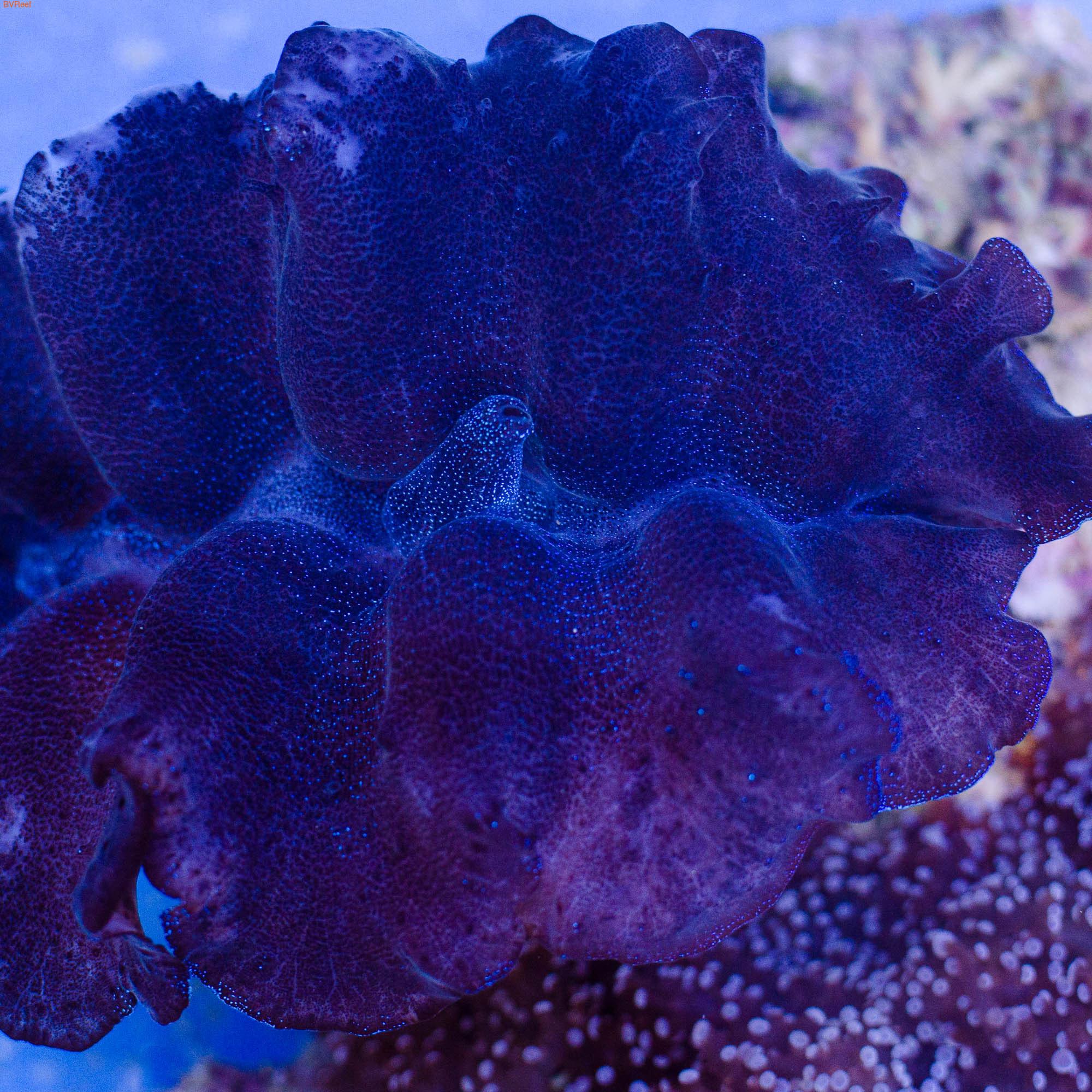 Б37 Тридакна кроцея (шафранная) Tridacna crocea 4500 (фото)