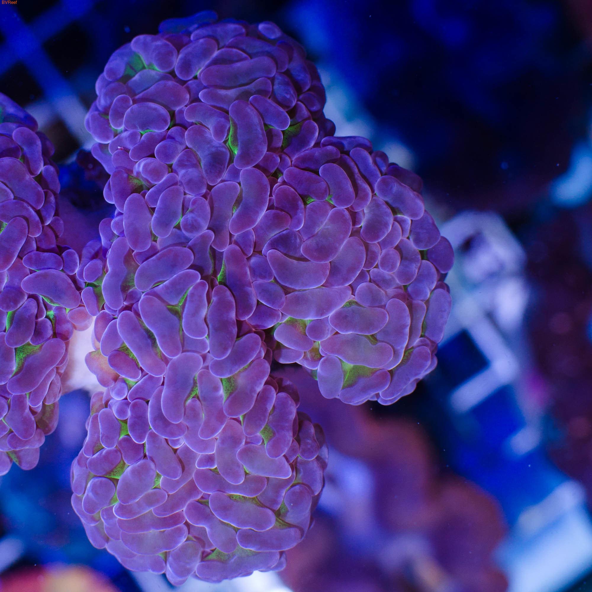 Л100 Эуфилия молоточковая Анкора ультра зеленая с фиолетовыми кончиками Anchor corals фраг 3-4 см 3300