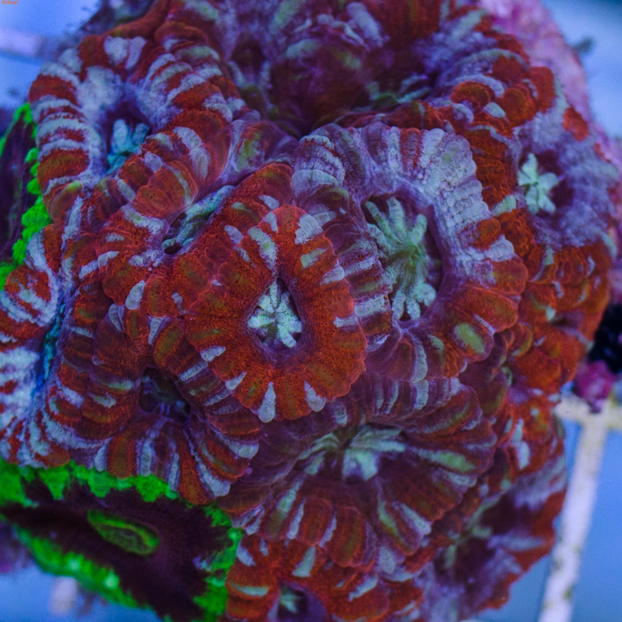 Л104 Акантастерия красная с голубым Acanthastrea lordhowensis 2000 (за 3 головы)