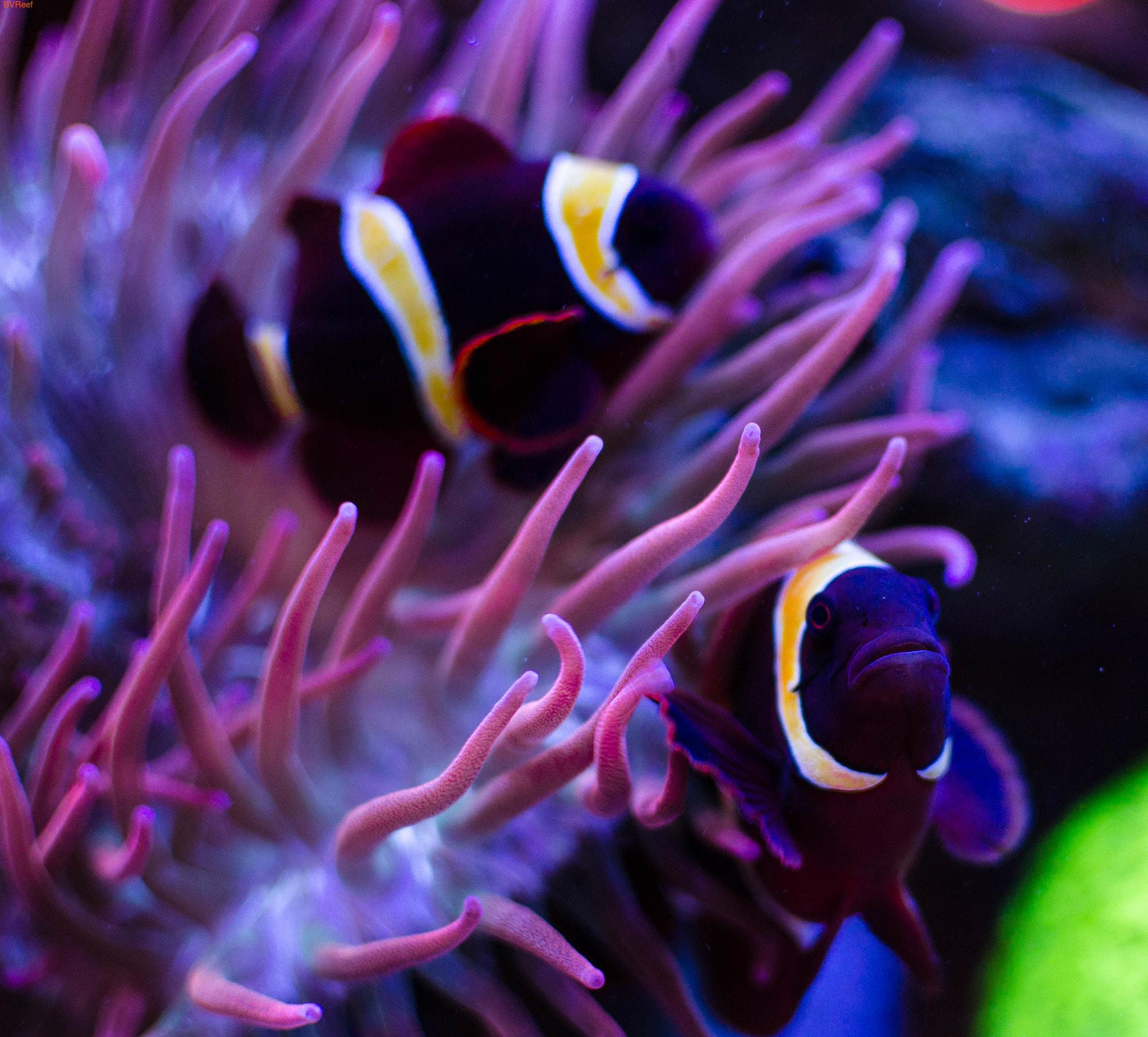 Клоун премнас мавританский Goldstripe maroon clownfish