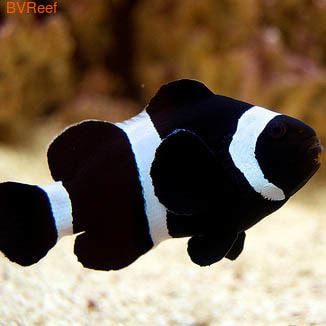 Клоун черный Black clownfish
