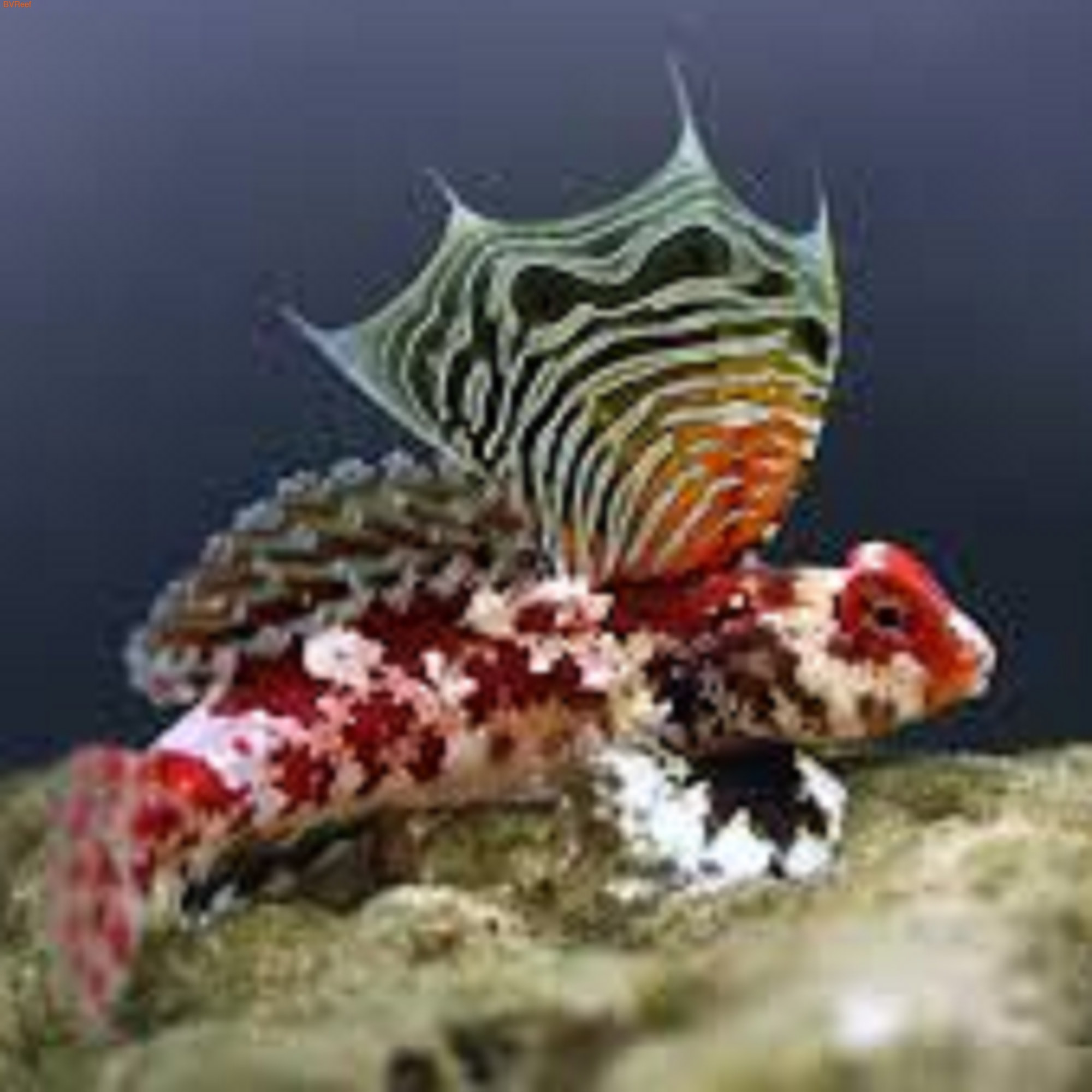 Мандаринка красная дракончик Synchiropus stellatus