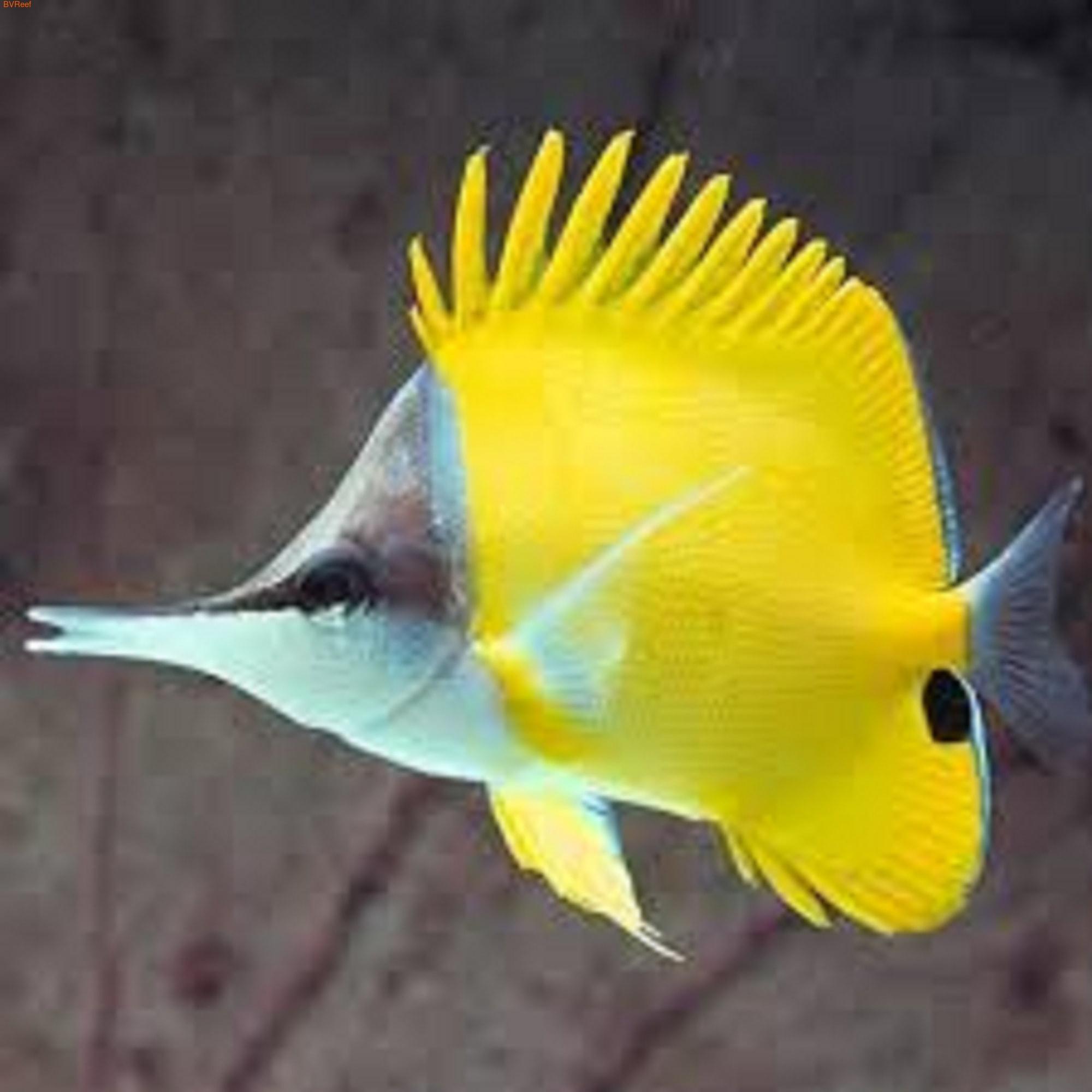 Бабочка пинцет желтая Forcipiger flavissimus