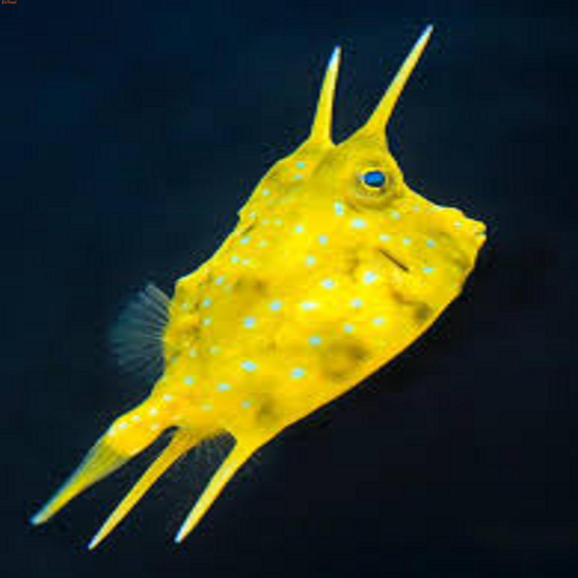Рыба корова Lactoria cornuta