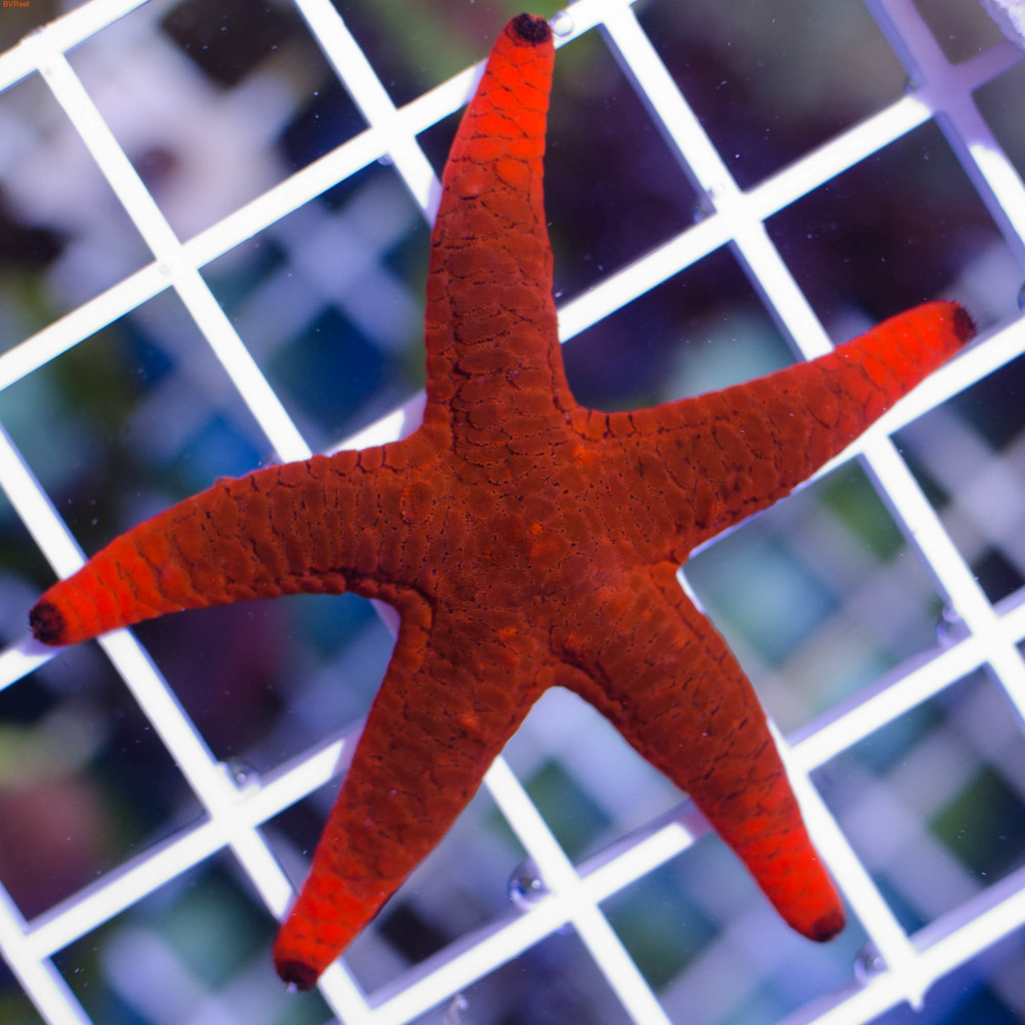 Звезда красная Fromia elegans (фото)