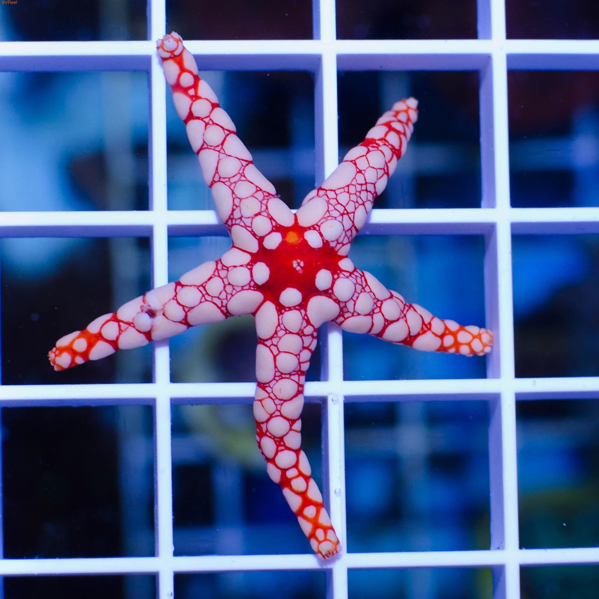 Звезда розовая с оранжевым Fromia elegans