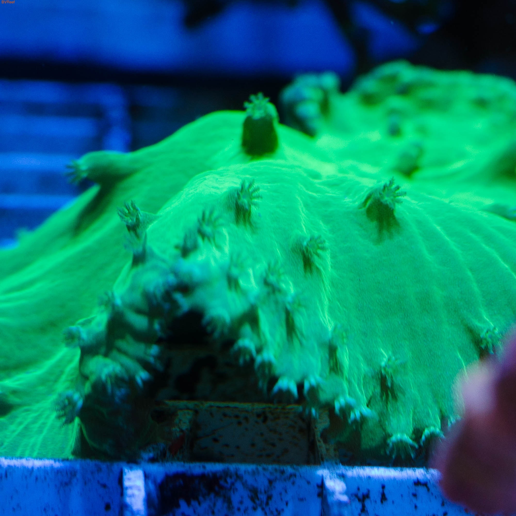 МК20 Синулярия ультра зеленая (Австралия)