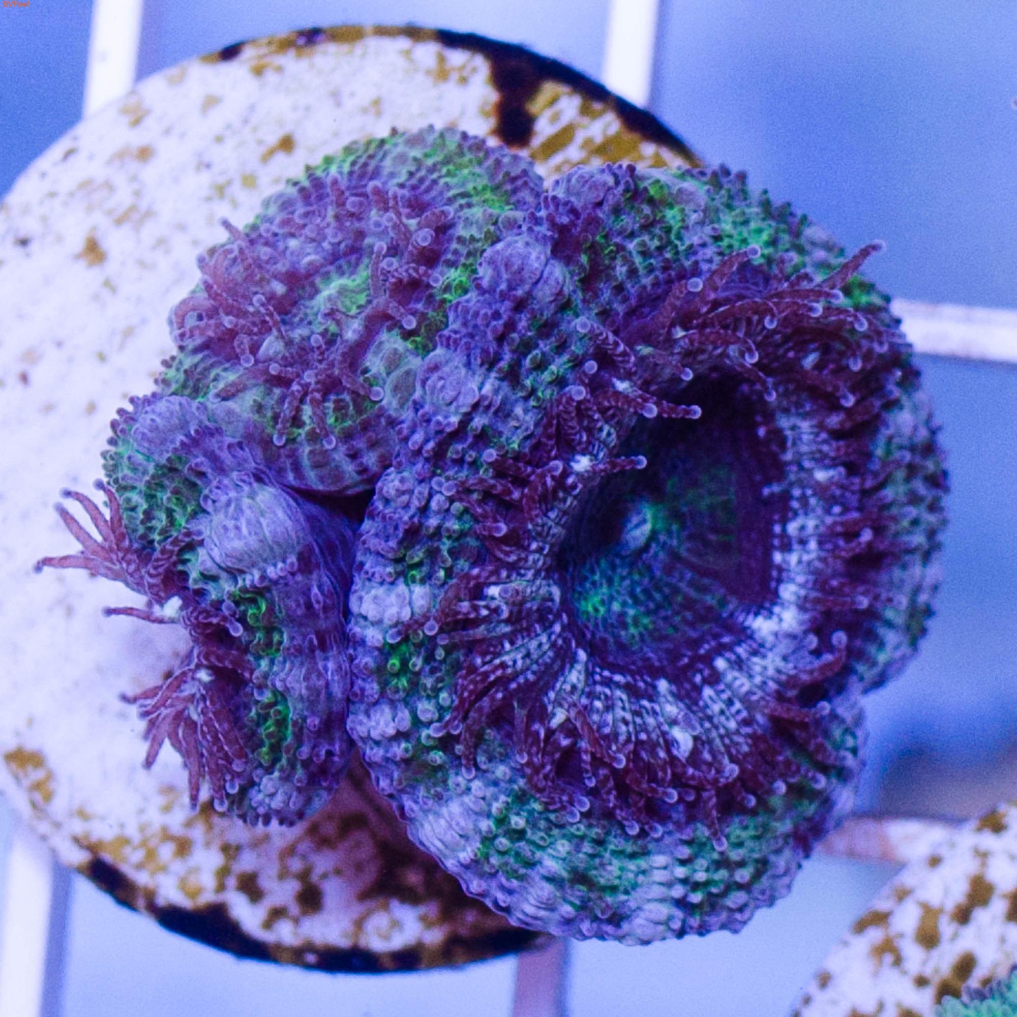 Акантастрея лорди голубая с зеленым Acanthastrea lordhowensis WYSIWYG