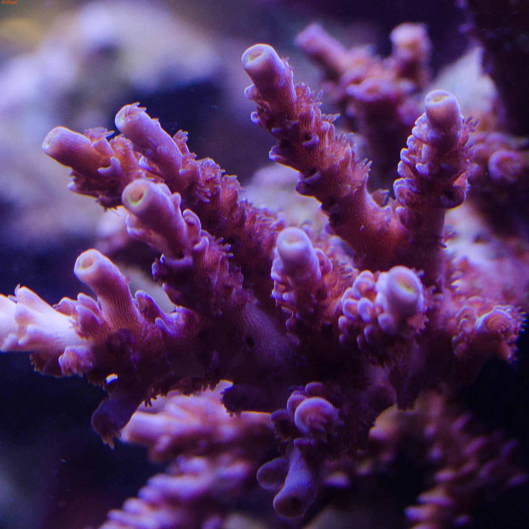 Акропора фиолетовый тениус Австралия
