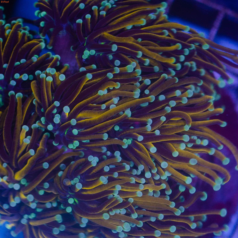 Эуфилия факельная голд с зеленым оттенком
