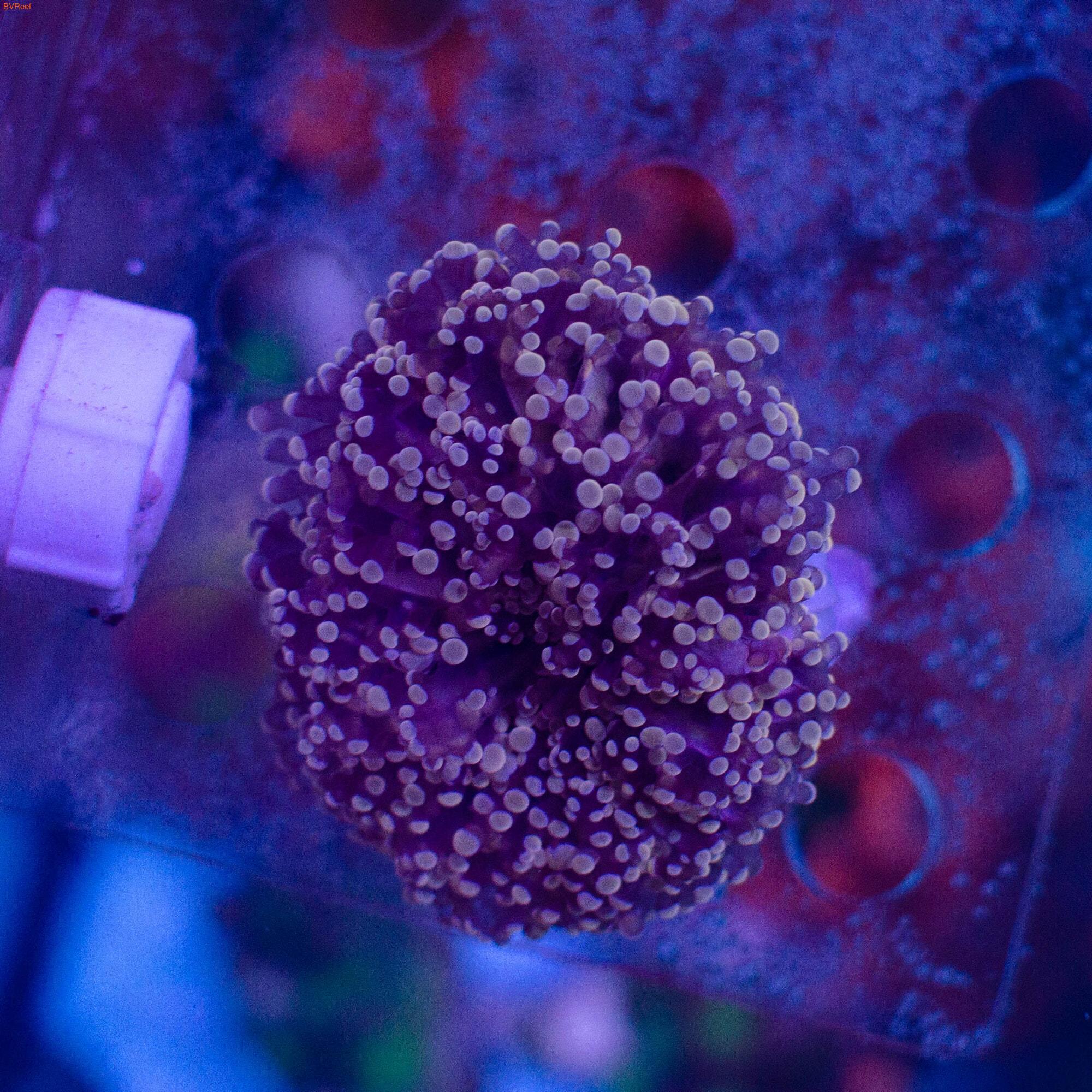 Эуфилия лягушачья икра фиолетовая