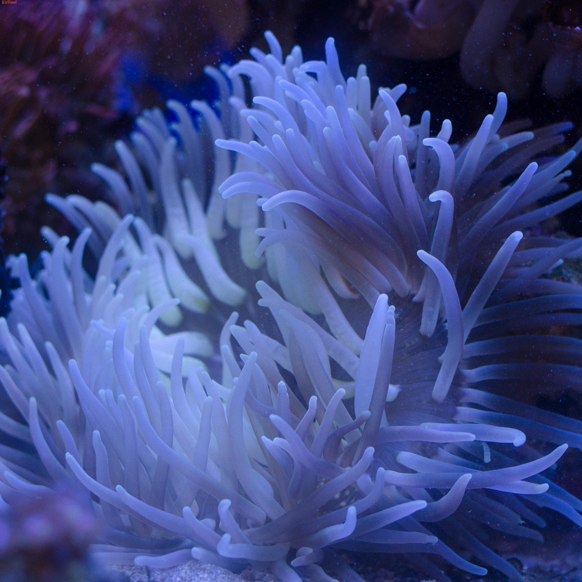 Актиния длинощупальцевая пурпурная Macrodactyla doreensis