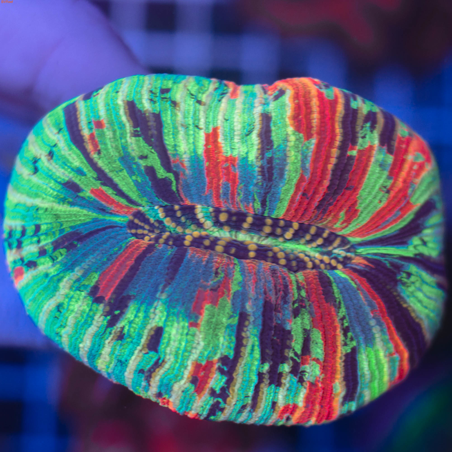 Трахифилия Жофруа Trachyphyllia Geoffroyi (фото)