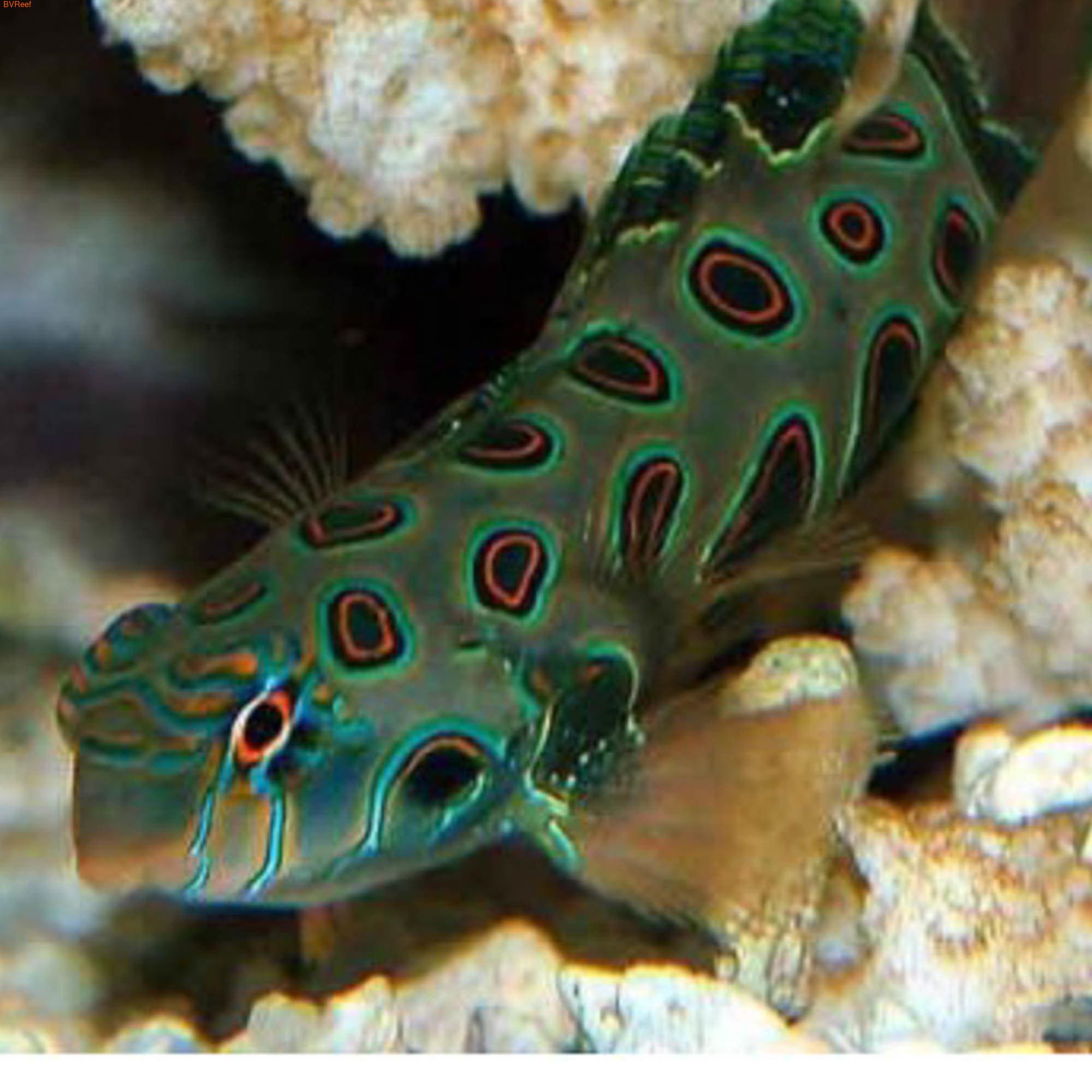 Мандаринка зеленая пятнистая Synchiropus picturatus
