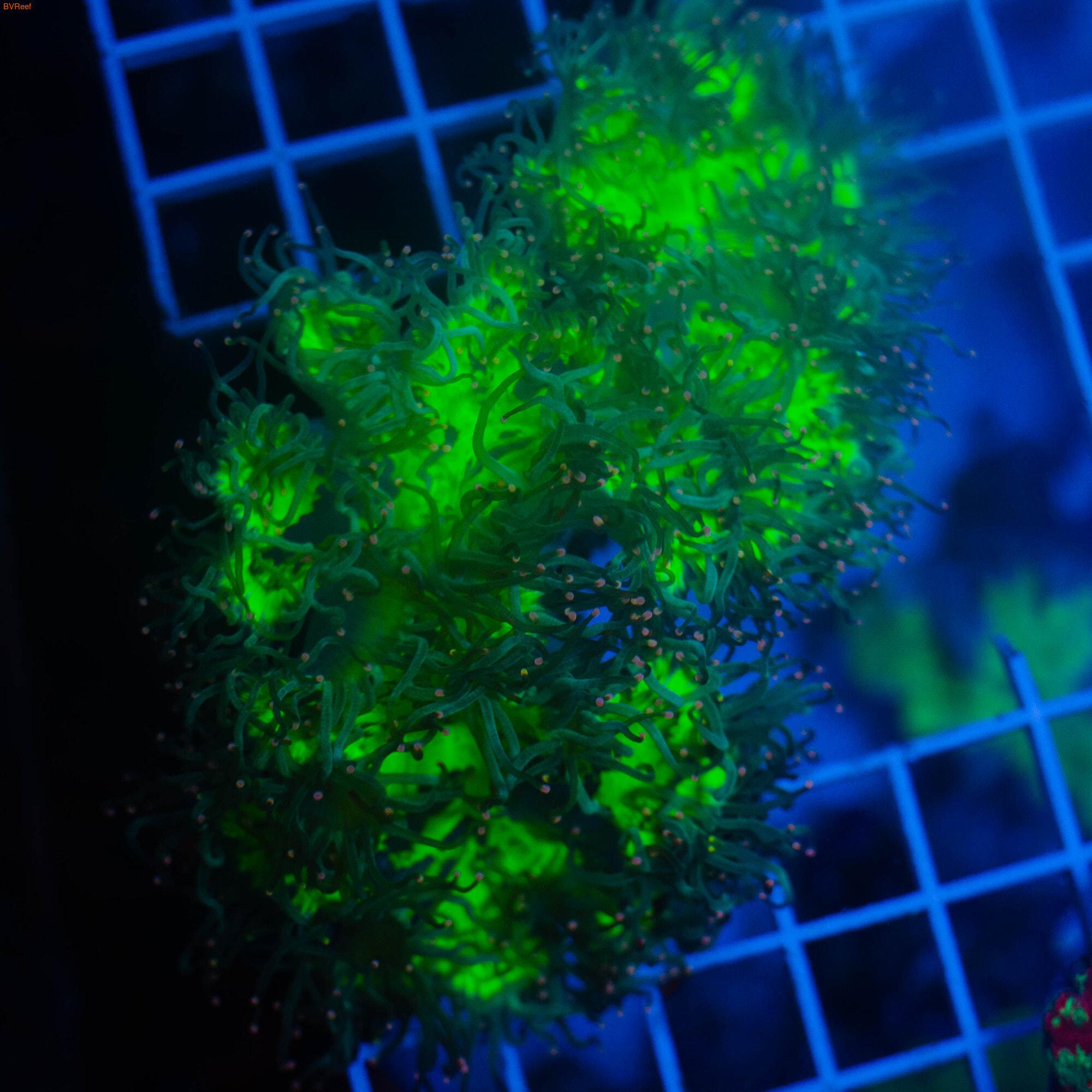 Каталафилия элегантная зеленая с синими кончиками Elegance coral - Green