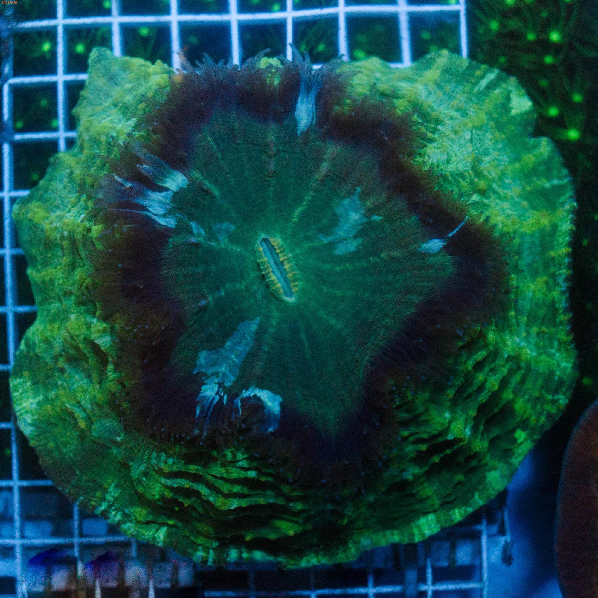 Сколимия зеленая Scolymia Green