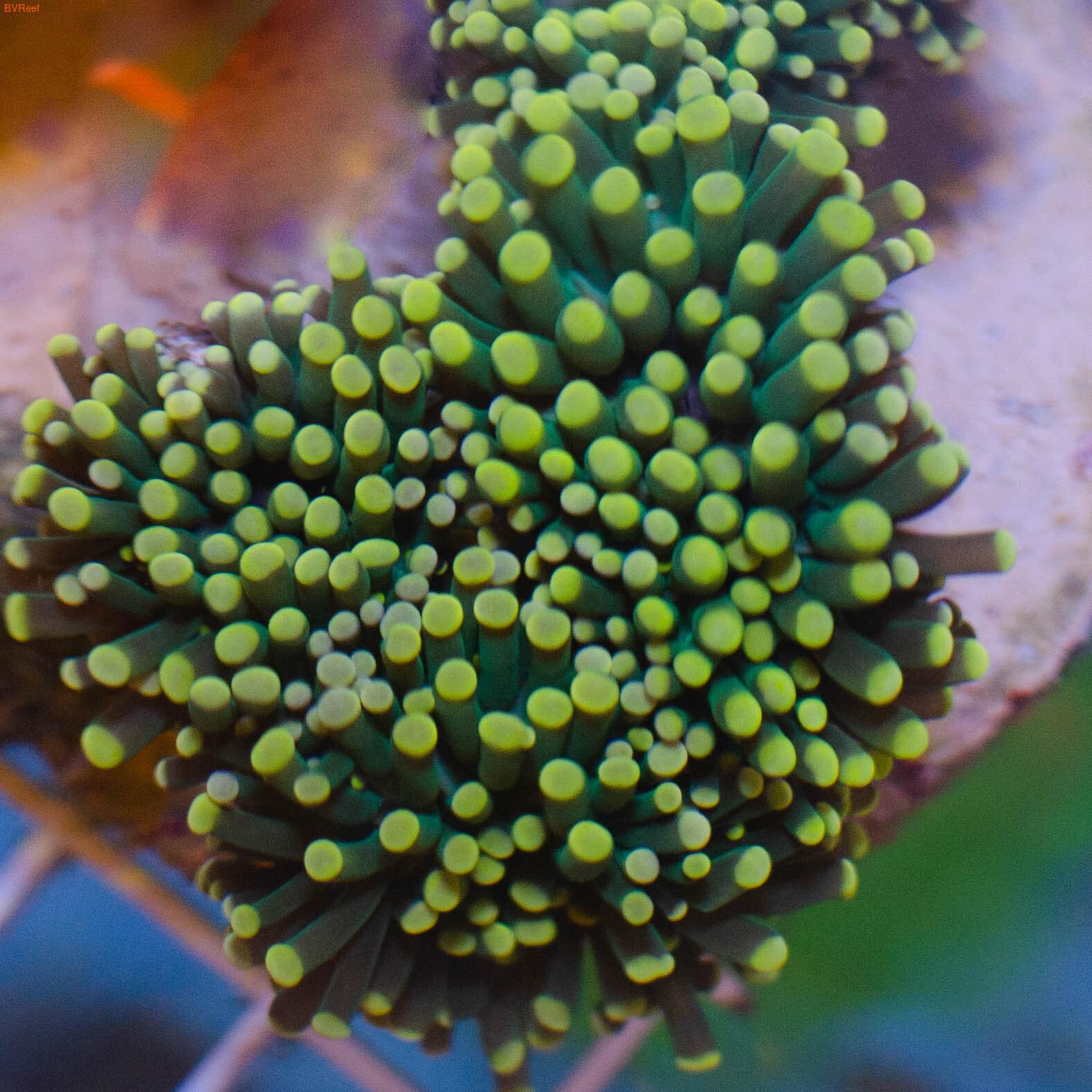Эуфилия факельная зеленая Torch coral - Green