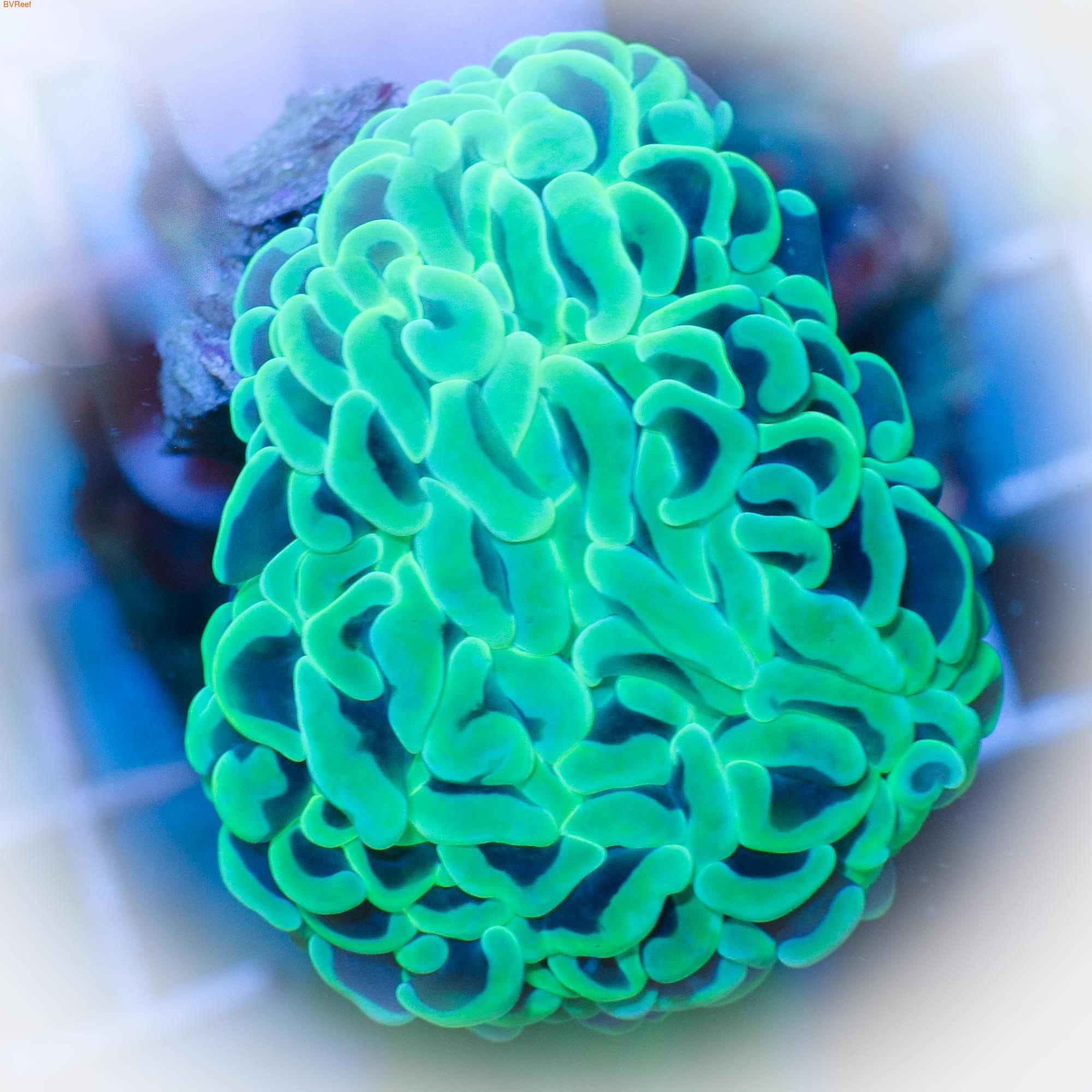 Эуфилия молоточковая анкора Hammer coral - Metallic Green