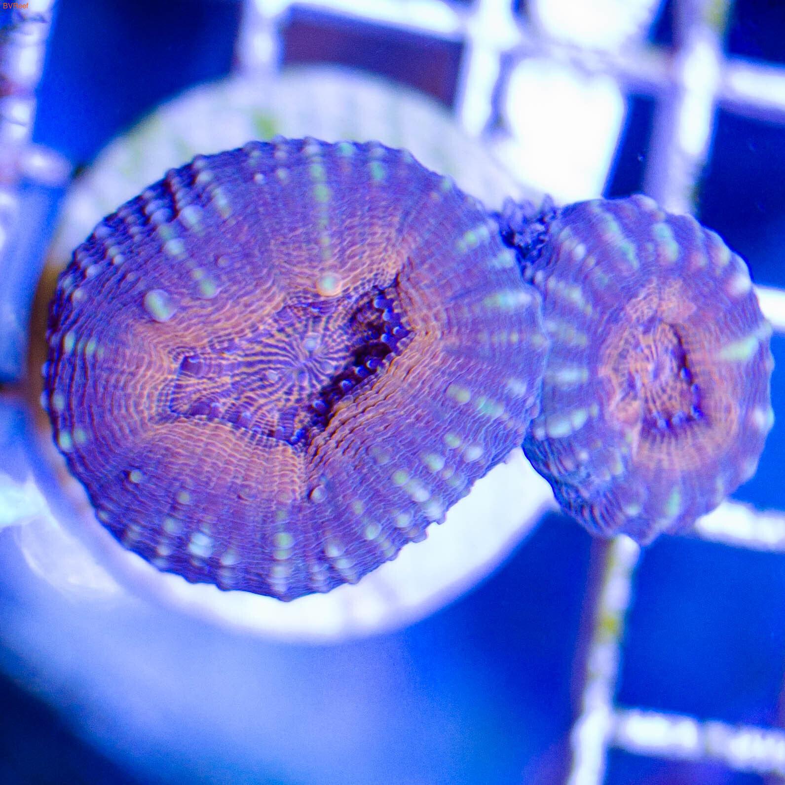 Лобофилия красная Lobed brain coral - Red