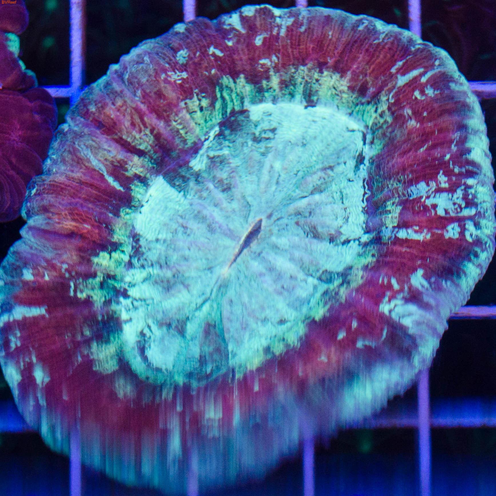 Велсофилия мультиколор Wellso folded brain - Multicolor