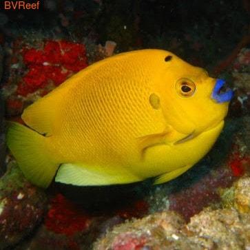 Трехточечный желтый ангел (Apolemichthys trimaculatus)