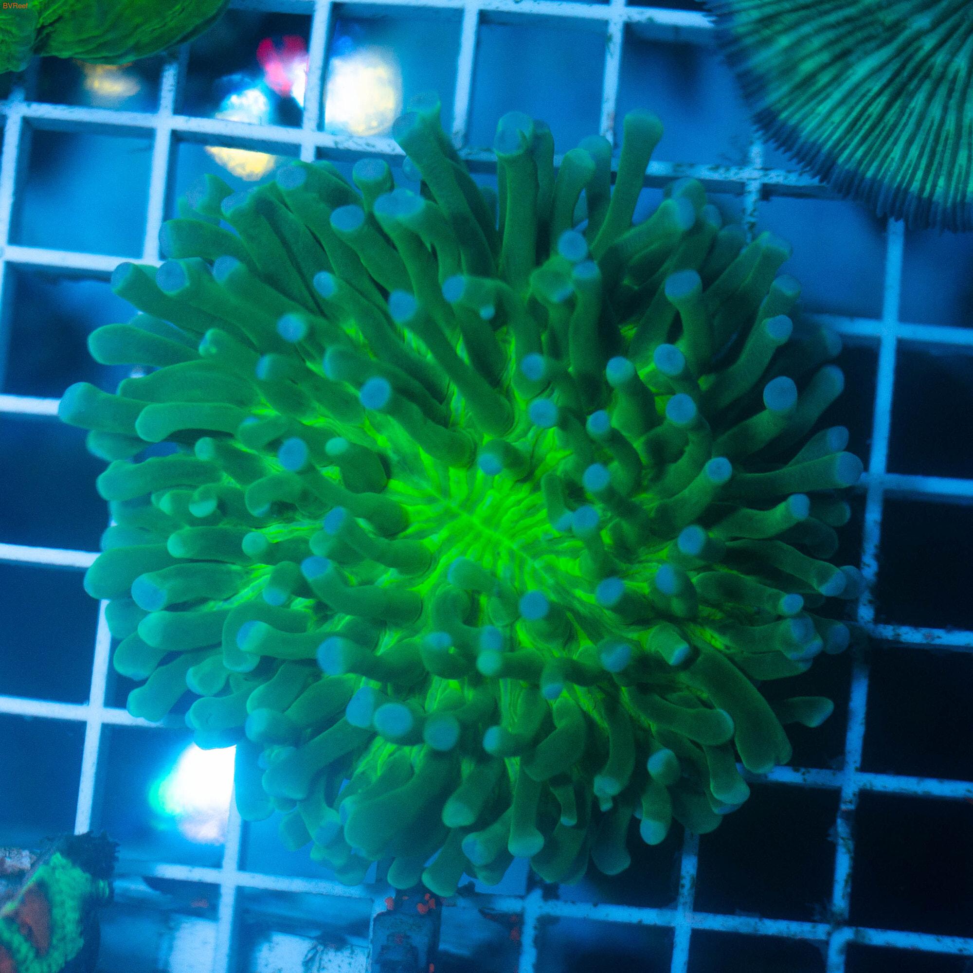 Гелиофунгия ультра зеленая Heliofungia sp.