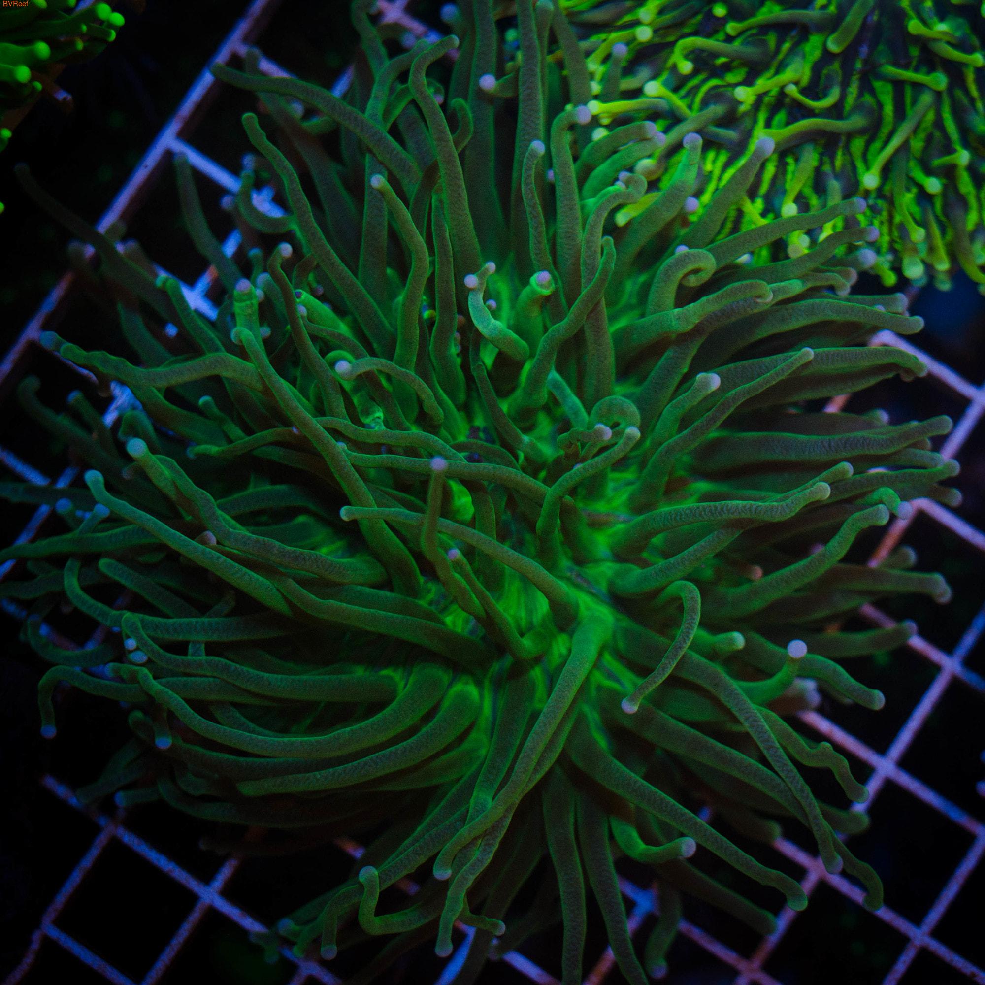 Гелиофунгия зеленый металлик, Metalic Green Plate CoralHeliofungia Actiniformis
