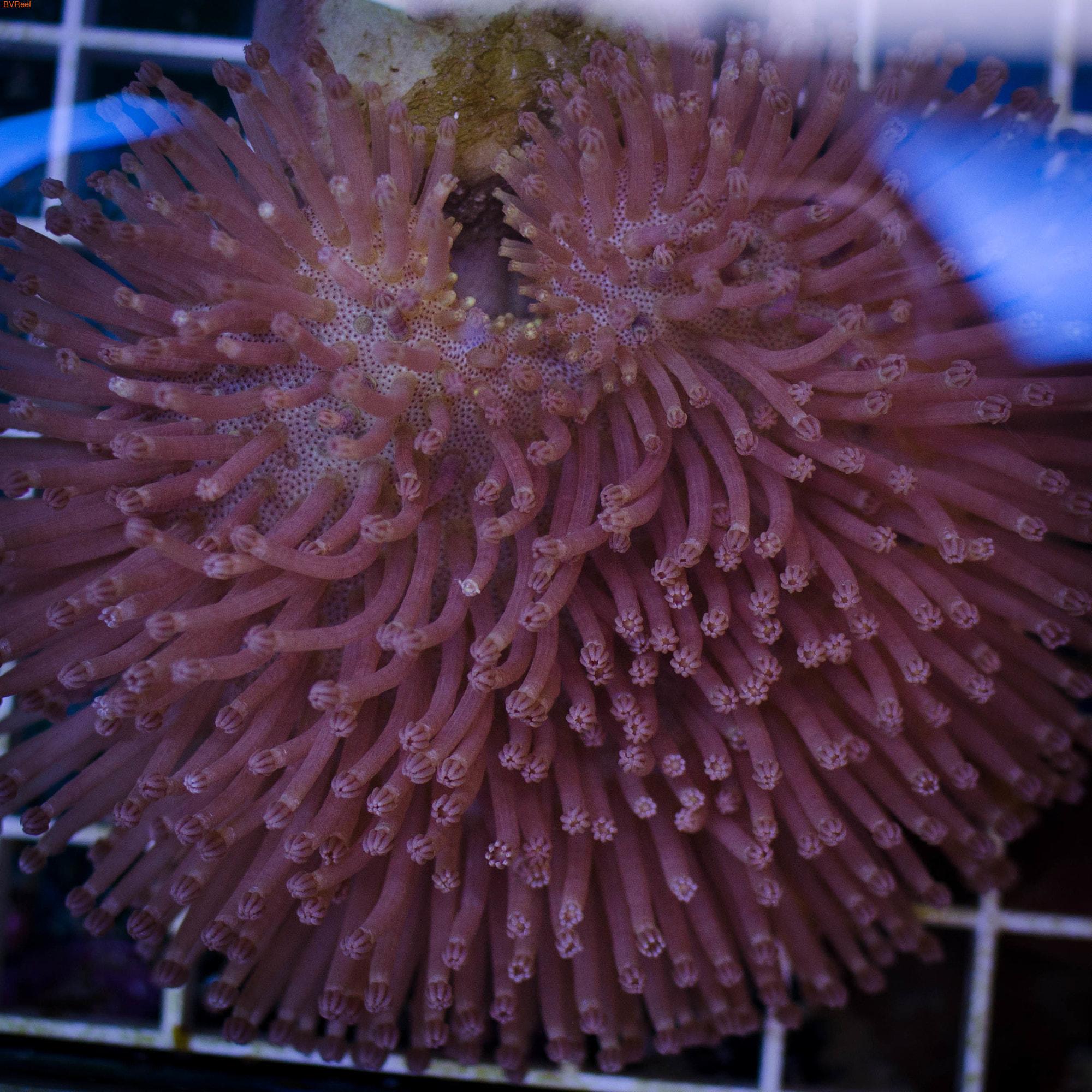 Саркофитон розовый длиннополипный (Sarcophyton sp.)