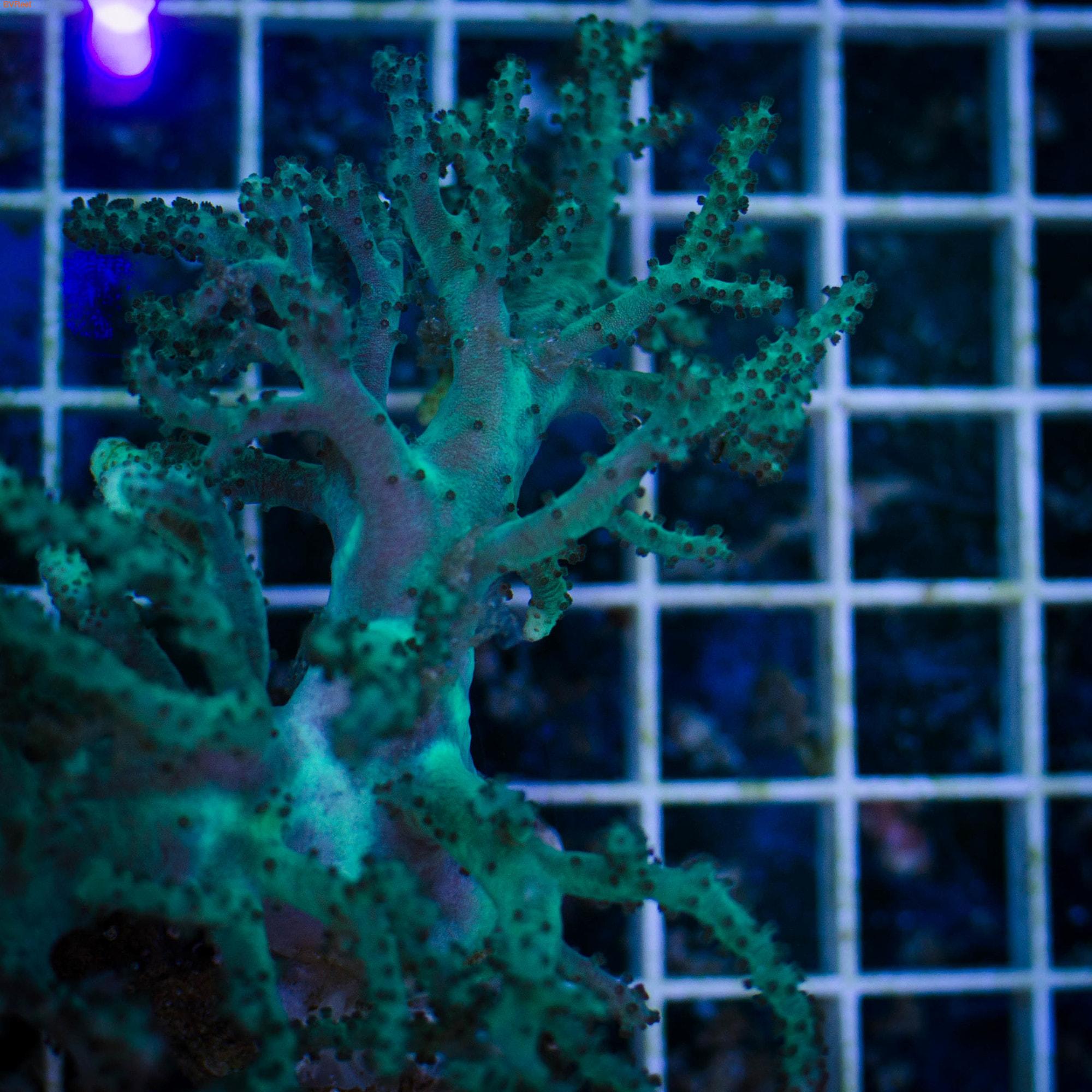 Синулярия зеленая ультра