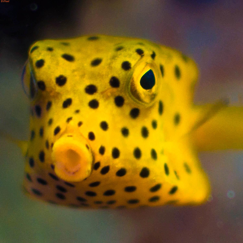 Кузовок-кубик Yellow boxfish