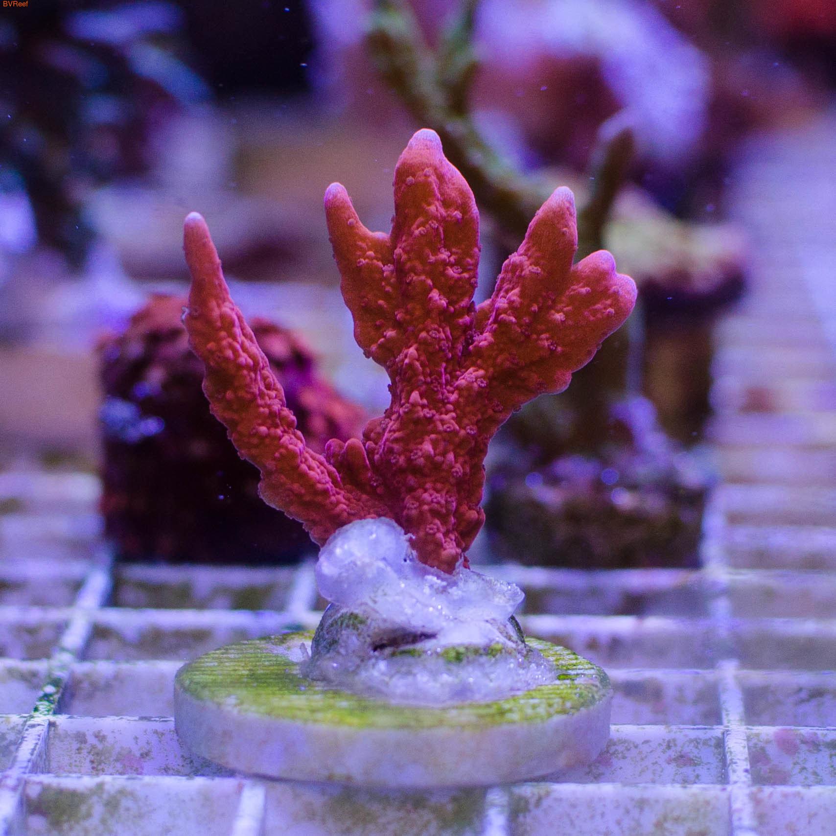 Анакропора красная Anacropora red