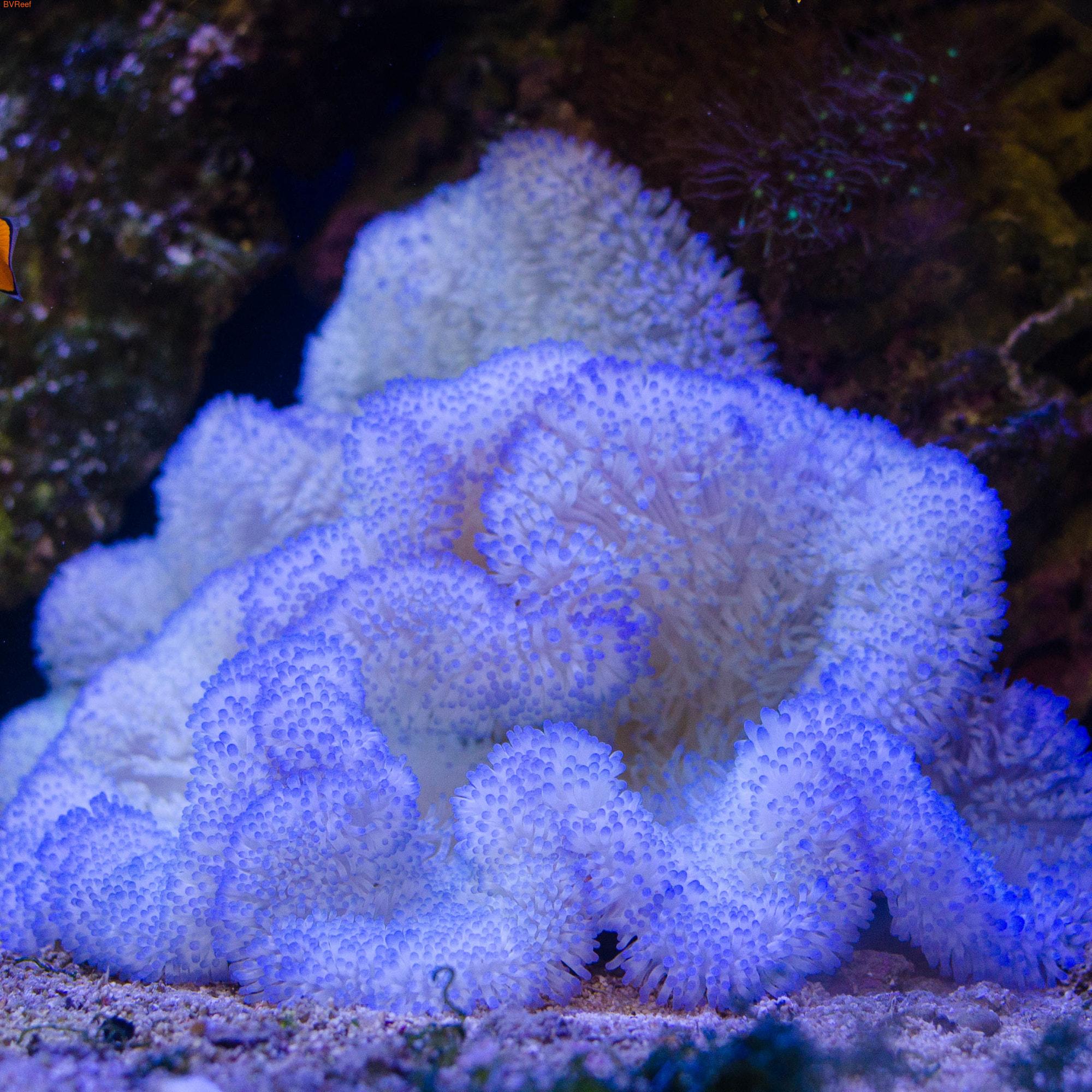 Актиния ковровая белая с пурпурными кончиками STICHODACTYLA HADDONI SP