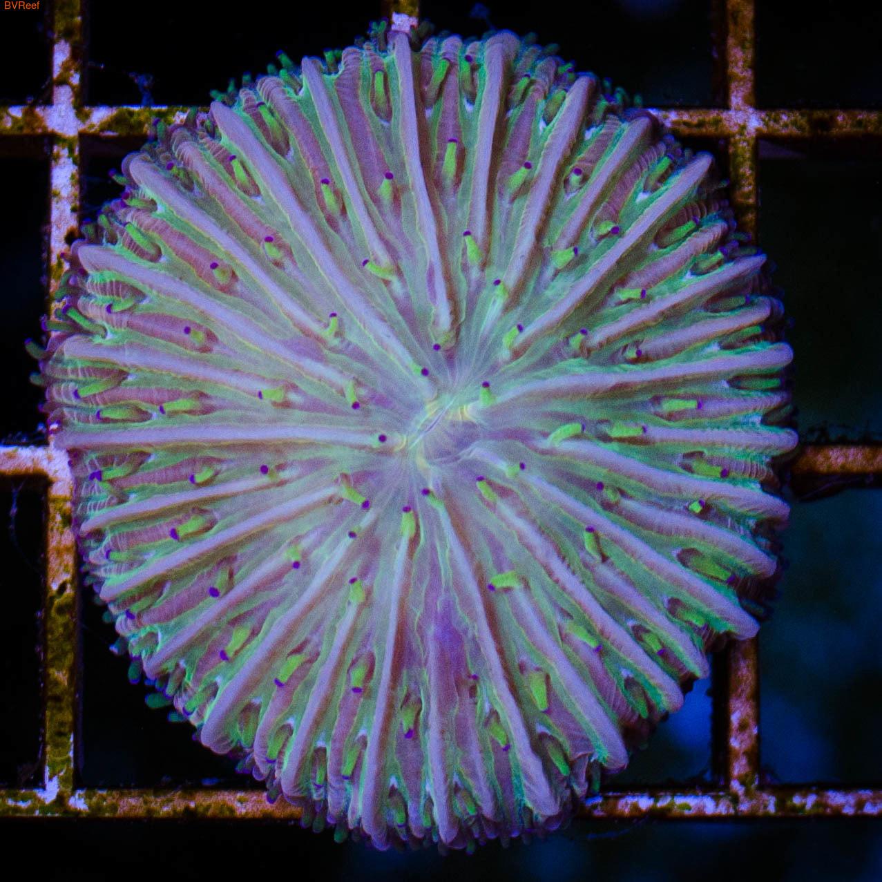 Фунгия многоцветная Fungia sp.