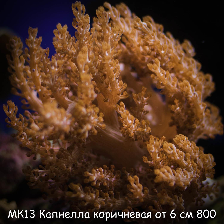 МК13 Капнелла коричневая от 6 см 800