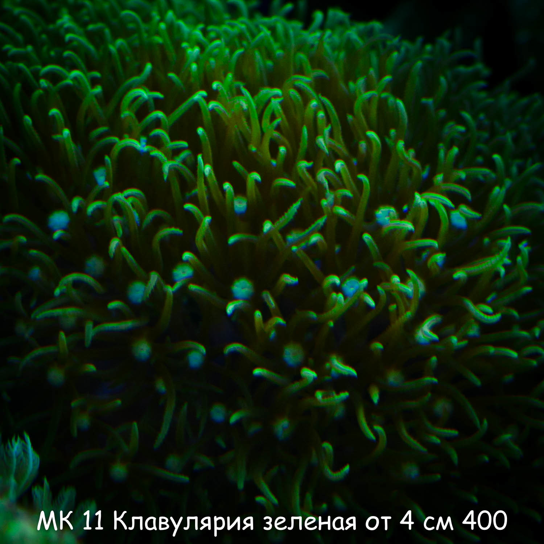 МК11 Клавулярия зеленая от 4 см 400