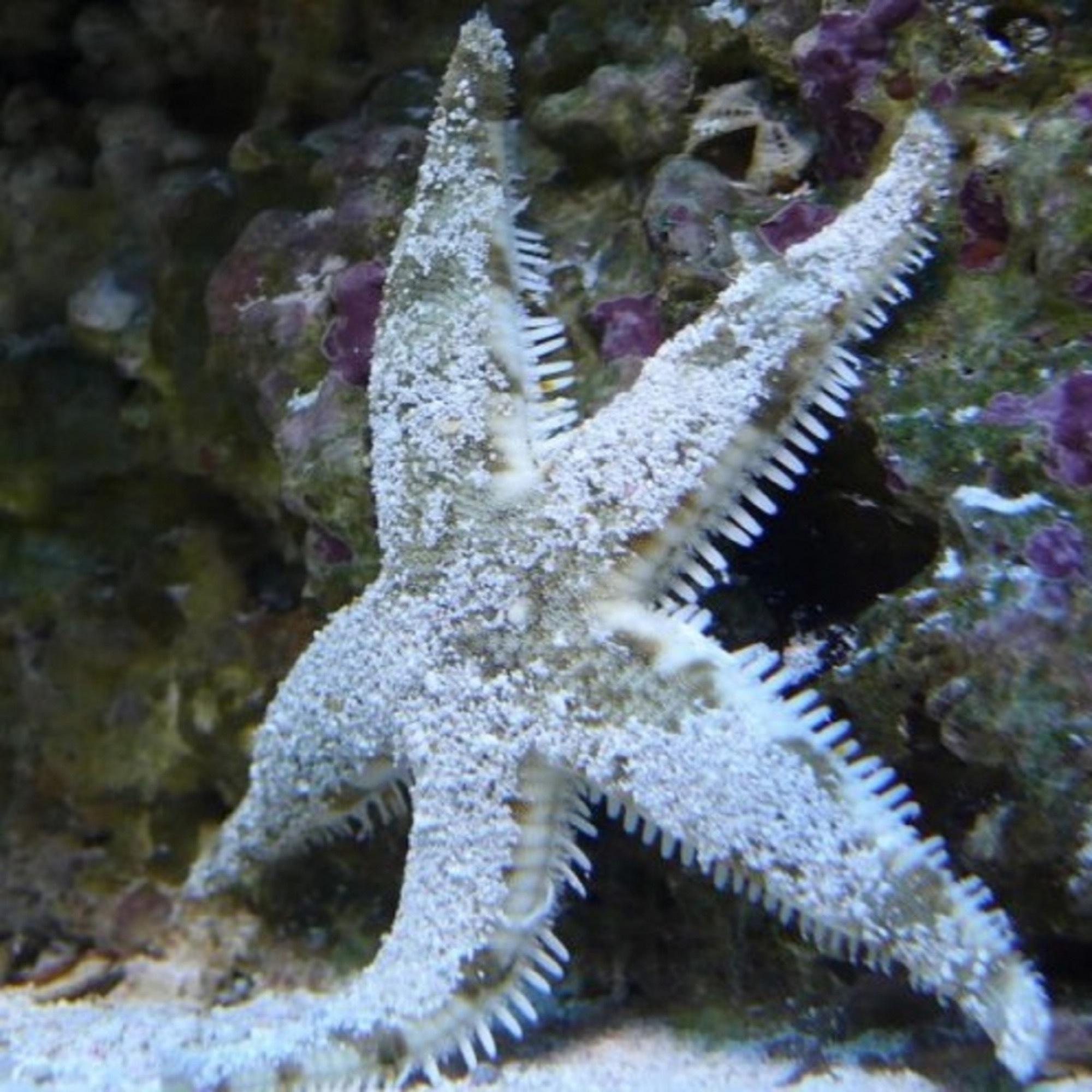 Звезда белая песчаная Archaster typicus
