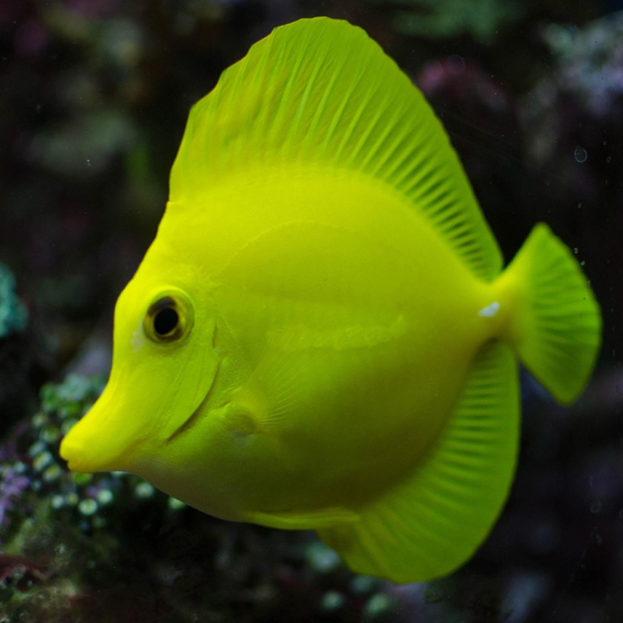 Зебрасома желтая (Zebrasoma flavescens)