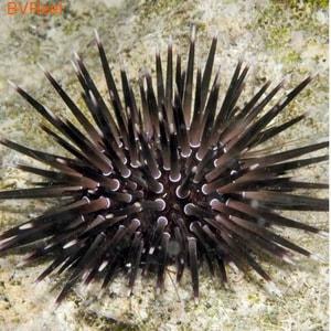 Б10 Еж грифельный Echinometra mathaei 1000