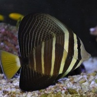 Зебрасома парусная Zebrasoma veliferum