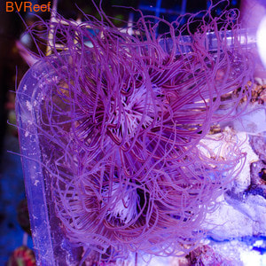 Б25 Цериантус фиолетовый 4000